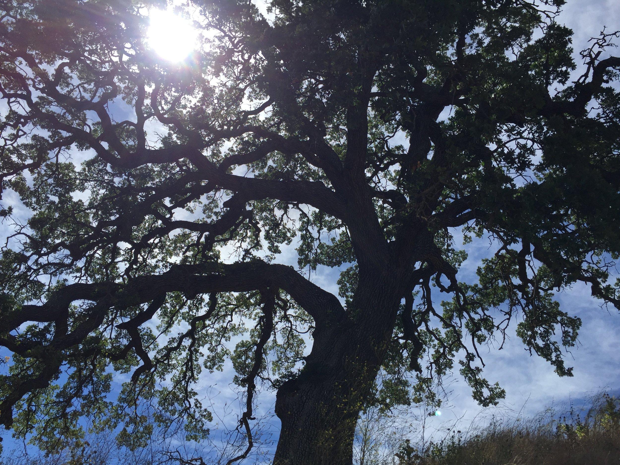 A majestic Valley Oak