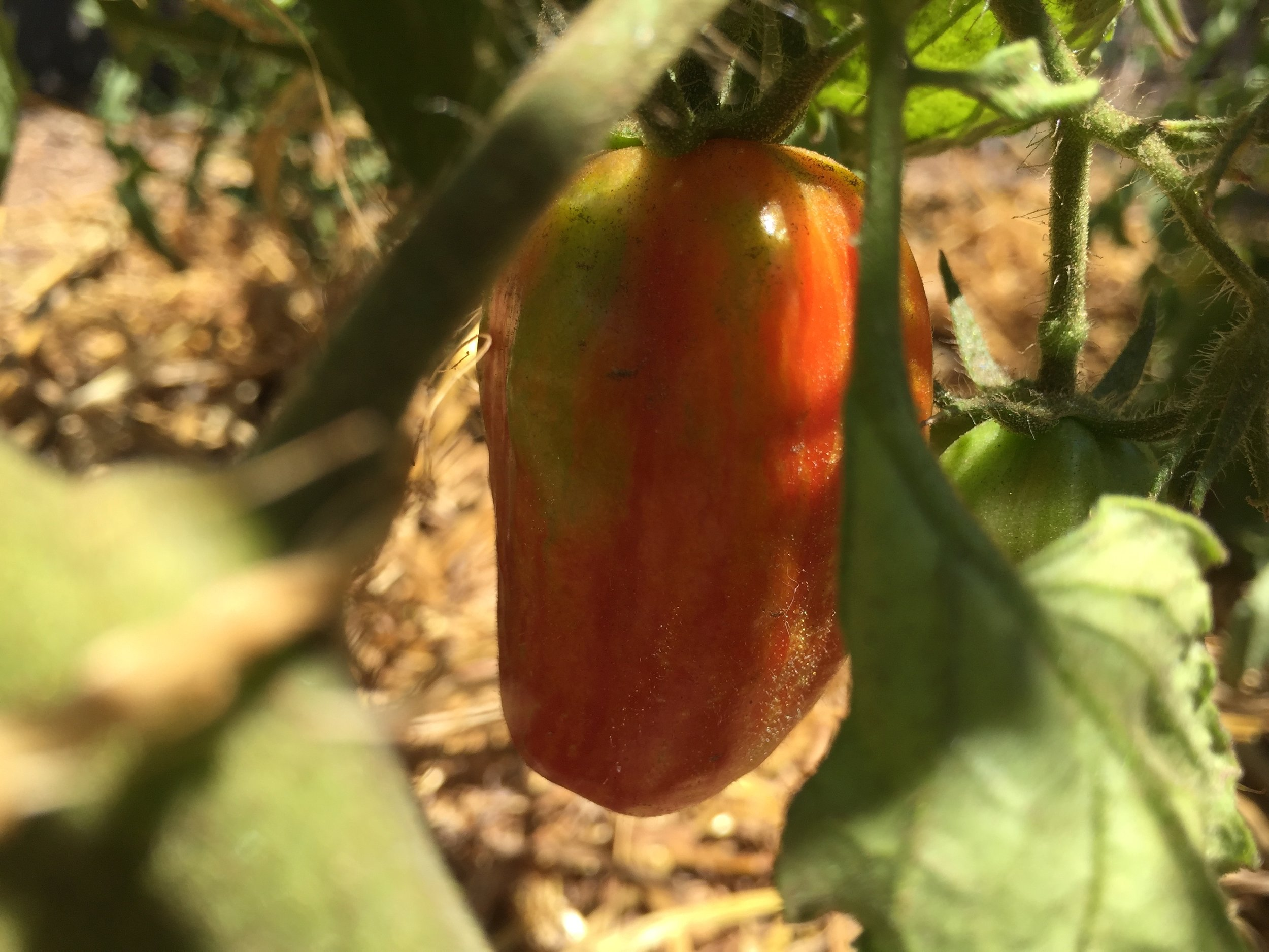 'Speckled Roman' paste tomato, miraculously peck-free