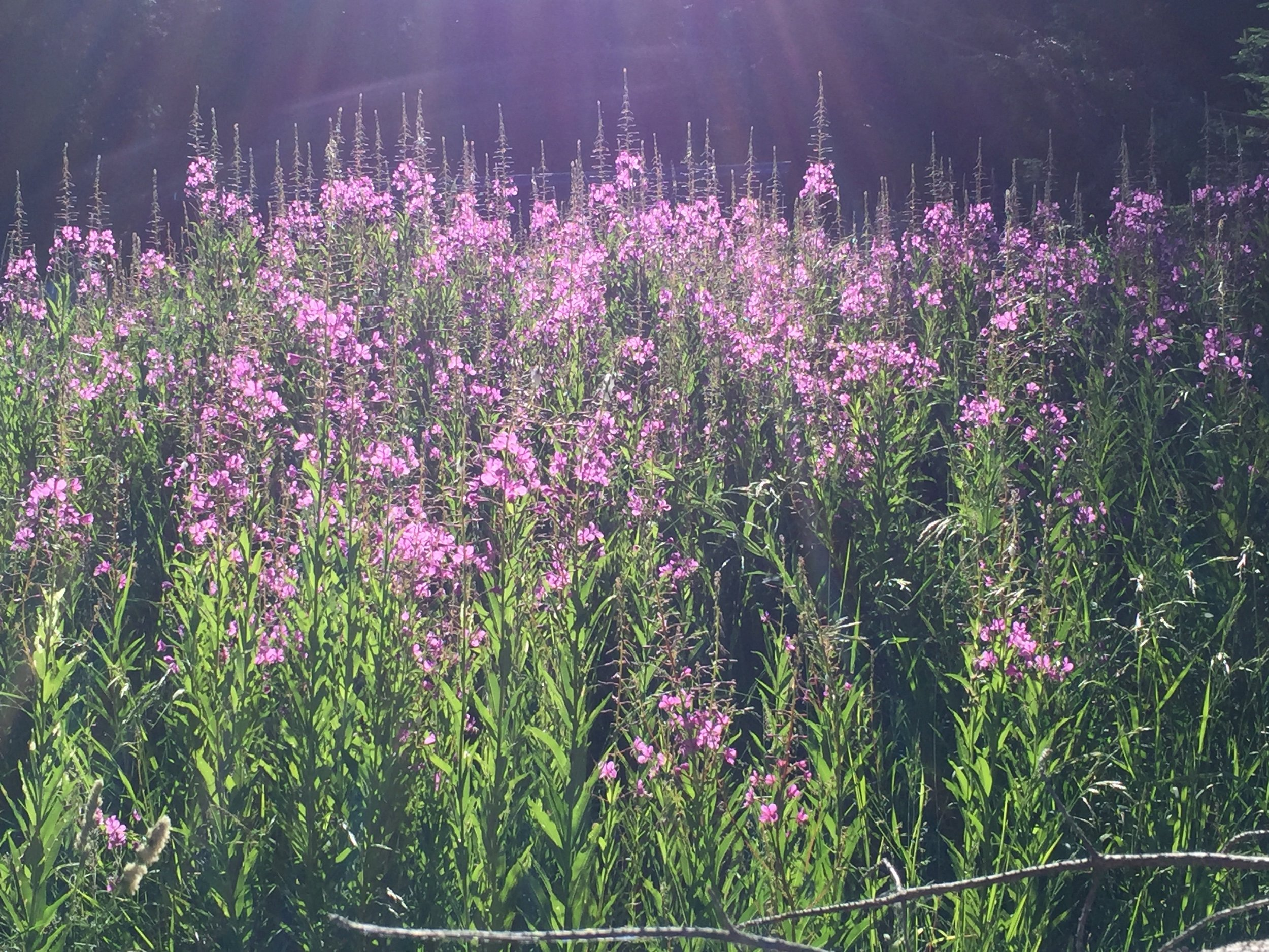 Fireweed was often in forest clearings