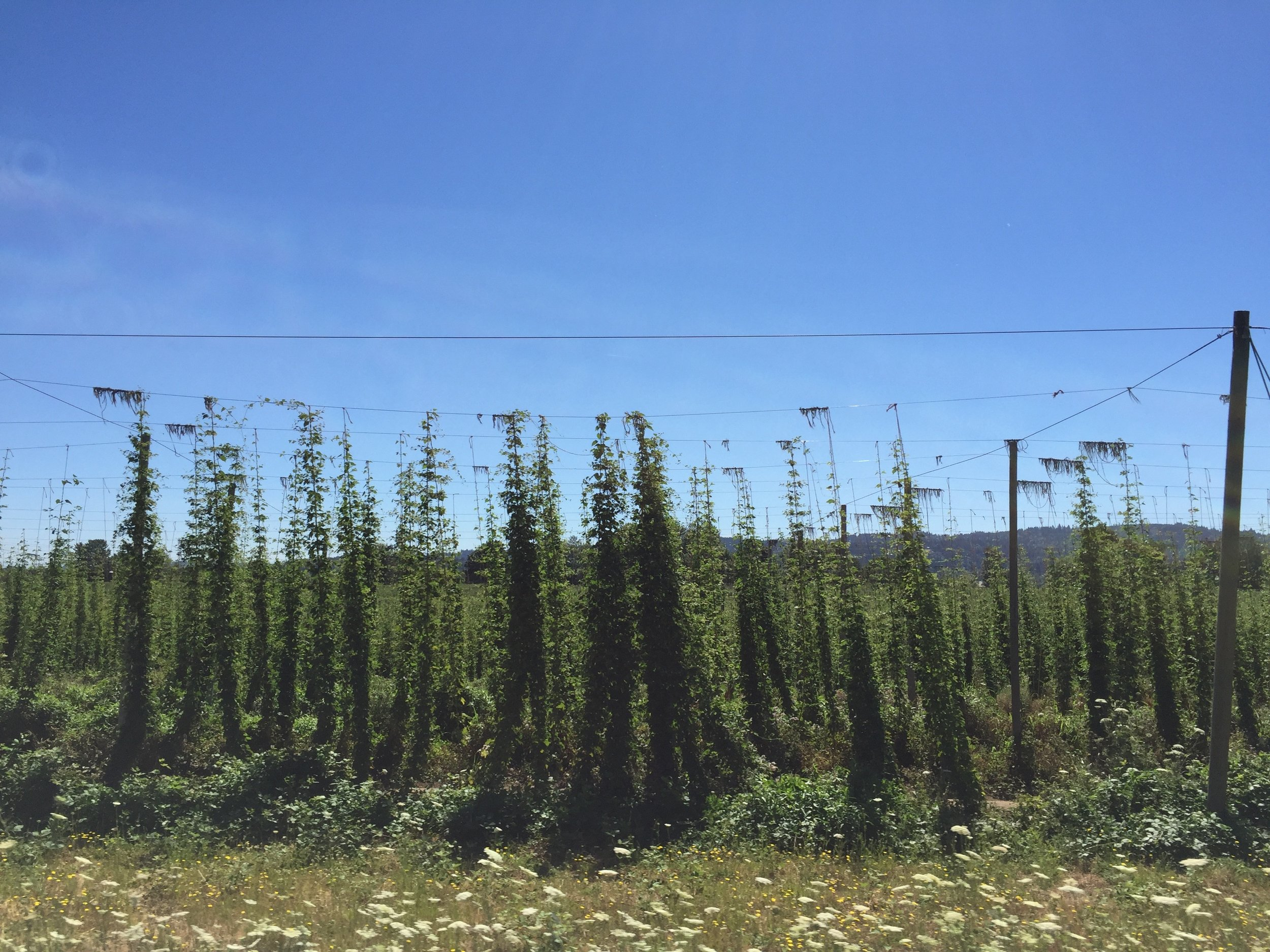 Hops growing by the side of the road