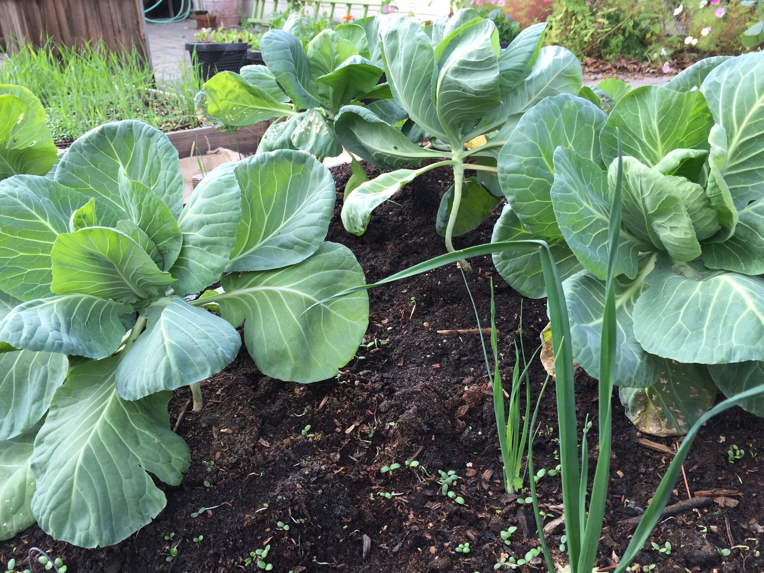 cabbage and leeks. the cabbage is really looking nice.
