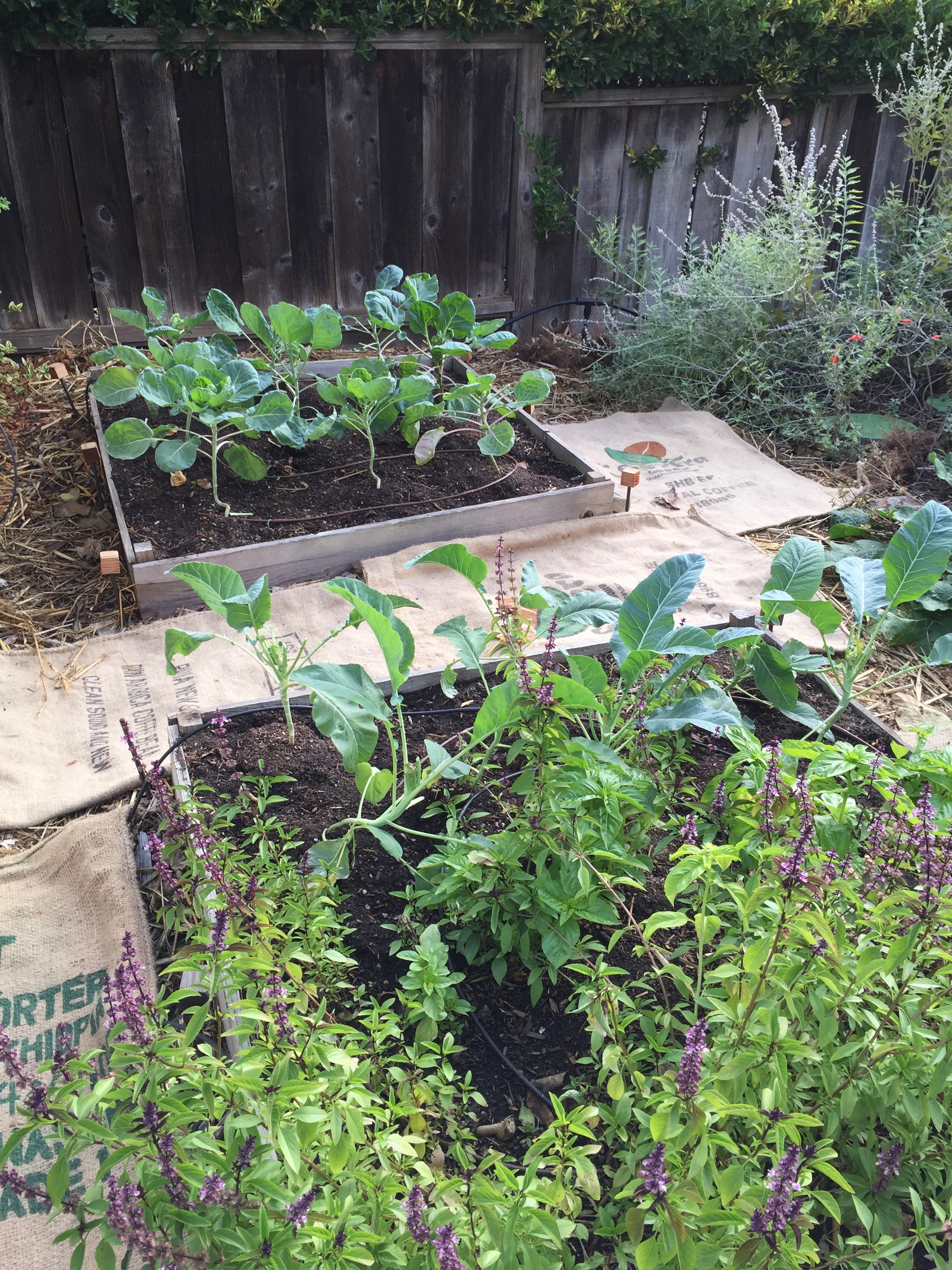 Brussels sprouts in the back, cauliflower (probably hopeless at this point) in with the still-flowering Thai basil. You can see I've been lining the paths with burlap bags from the coffee roastery - I intend to cover these bags with leaves from ours and my neighbors trees, to prevent weeds from coming up between the beds.