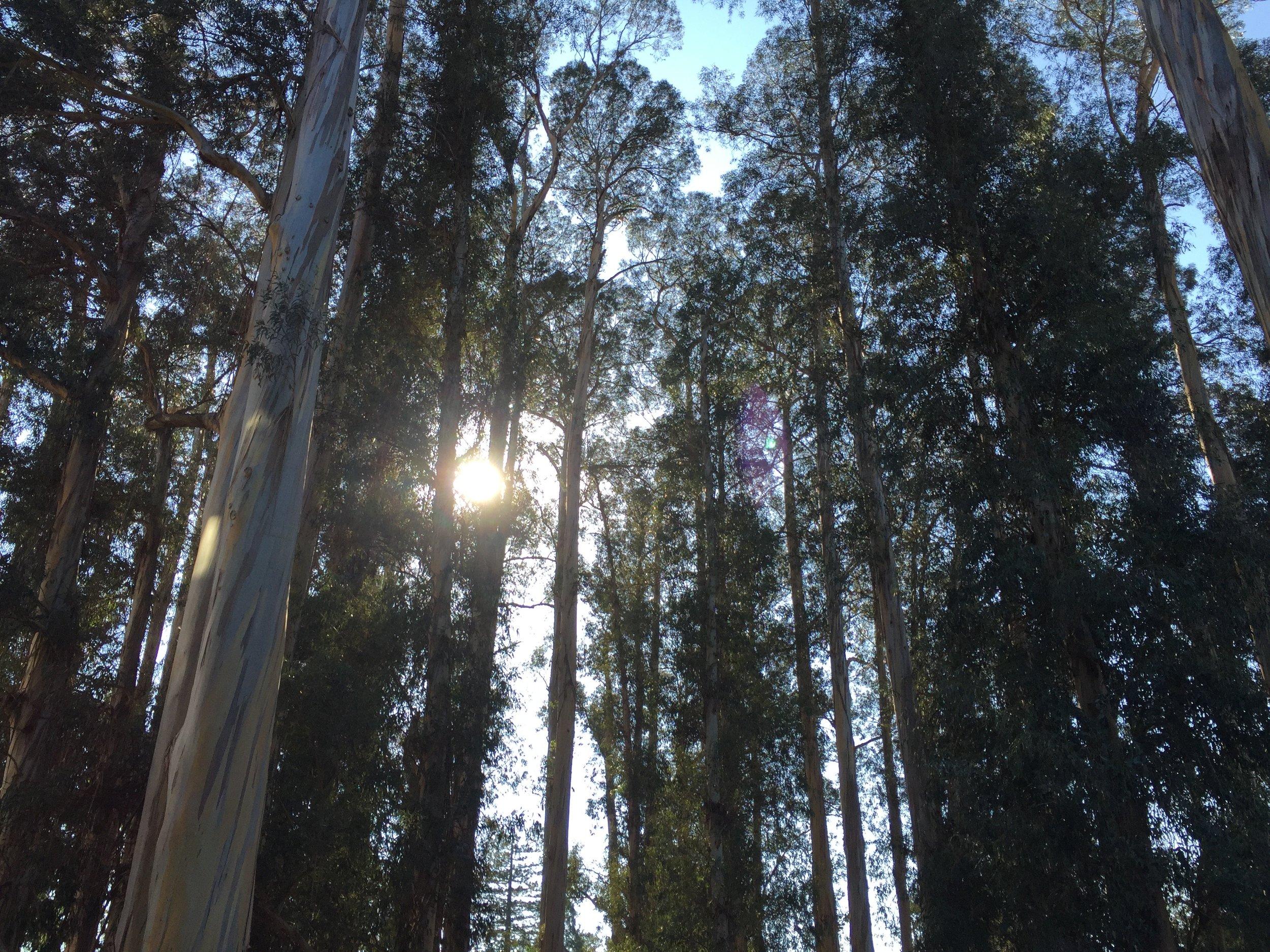 UC Berkeley campus, Strawberry Canyon, eucalyptus grove