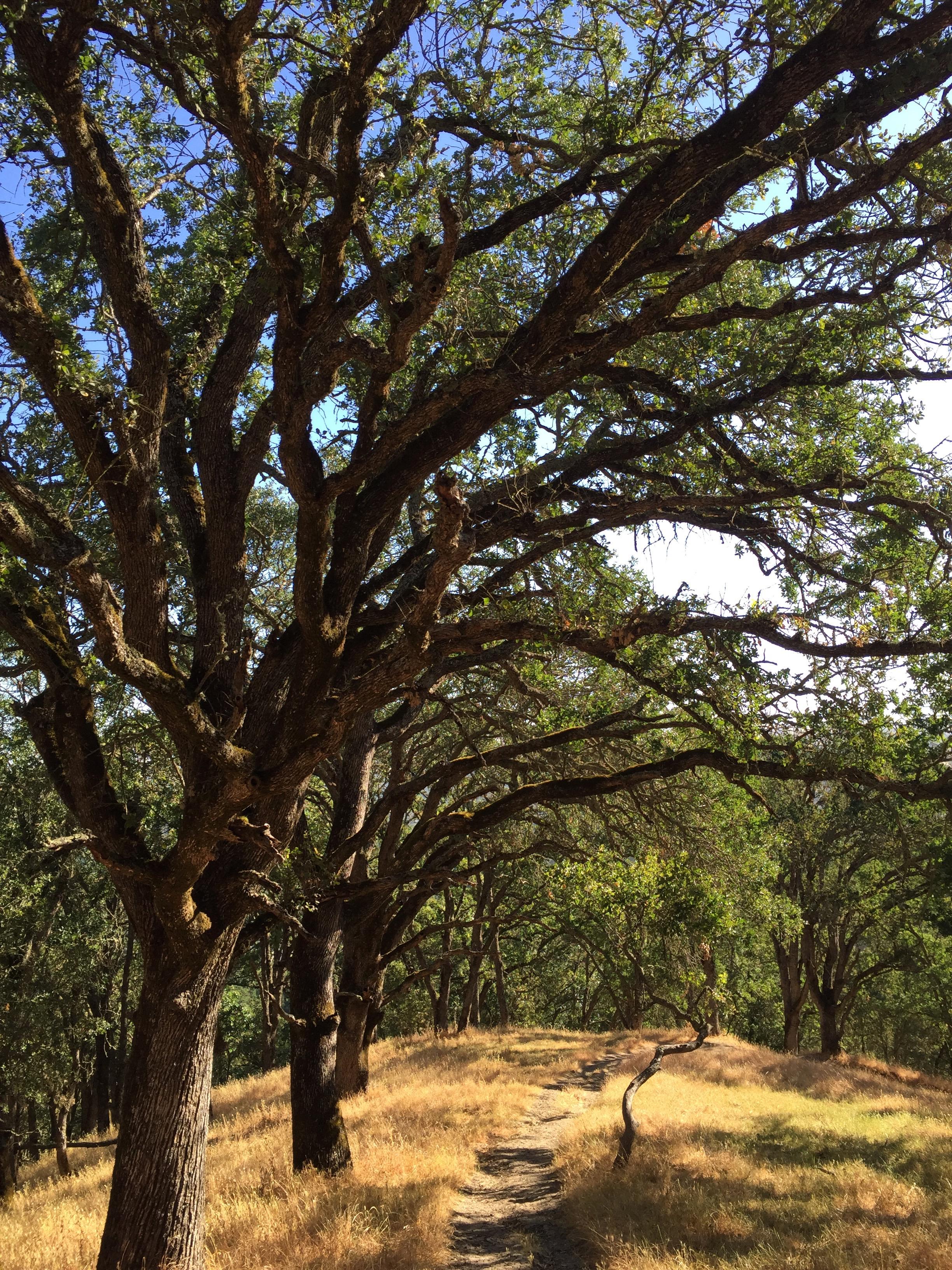 Ringtail Cat trail, Las Trampas Regional Wilderness