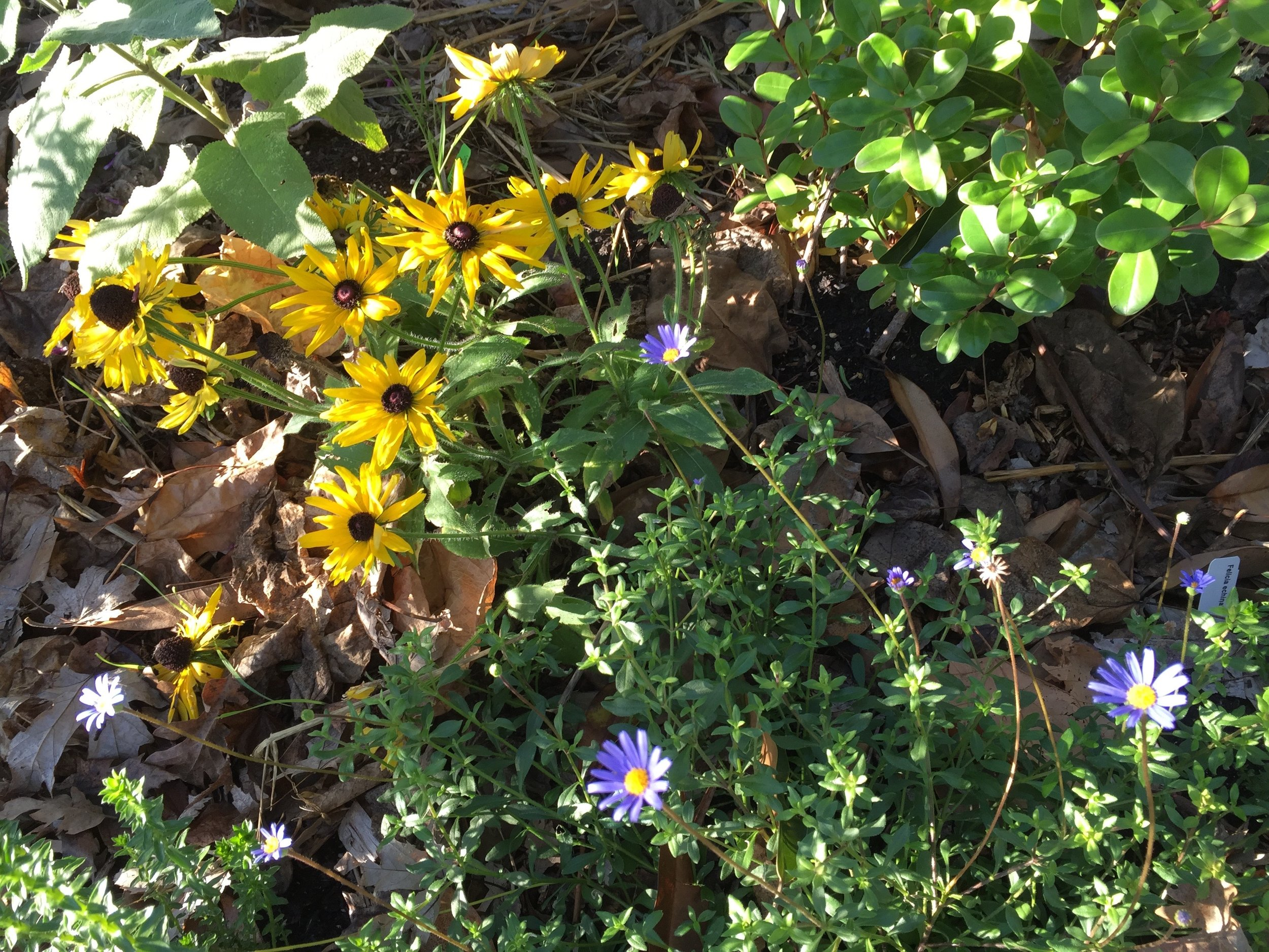 Some flowers are not minding the cold - the yellow is  Rudbeckia hirta  and the purple is  Felicia echinata .
