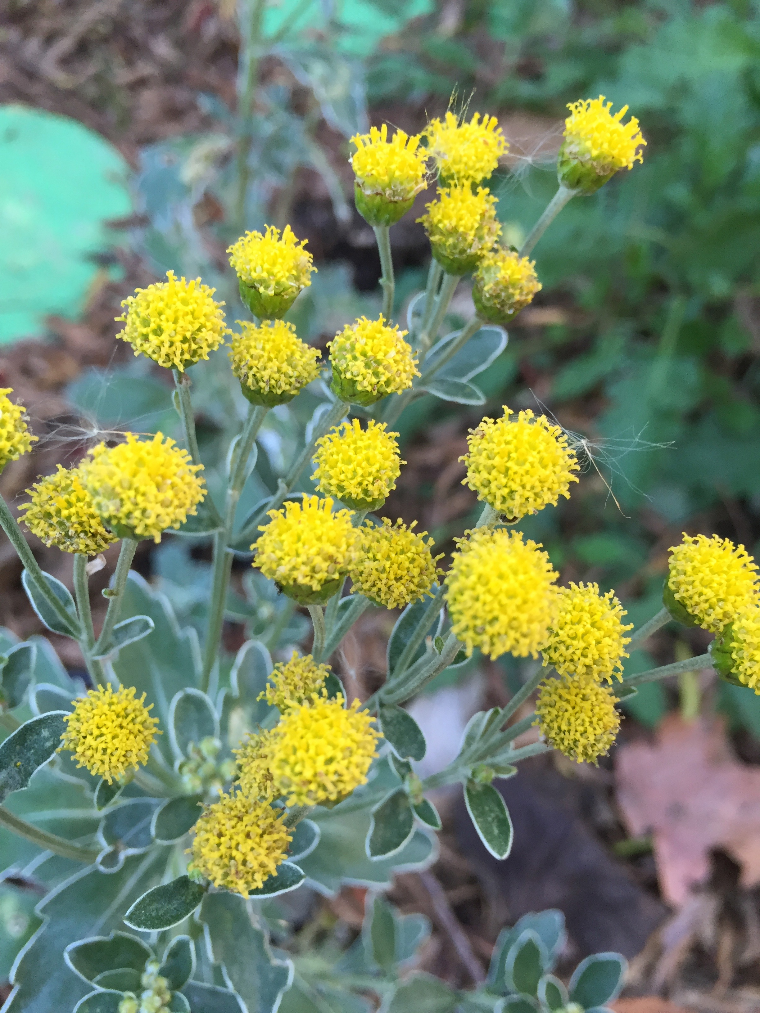 Ajania pacifica , or Pacific Chrysanthemum, a welcome winter bloomer in a protected space