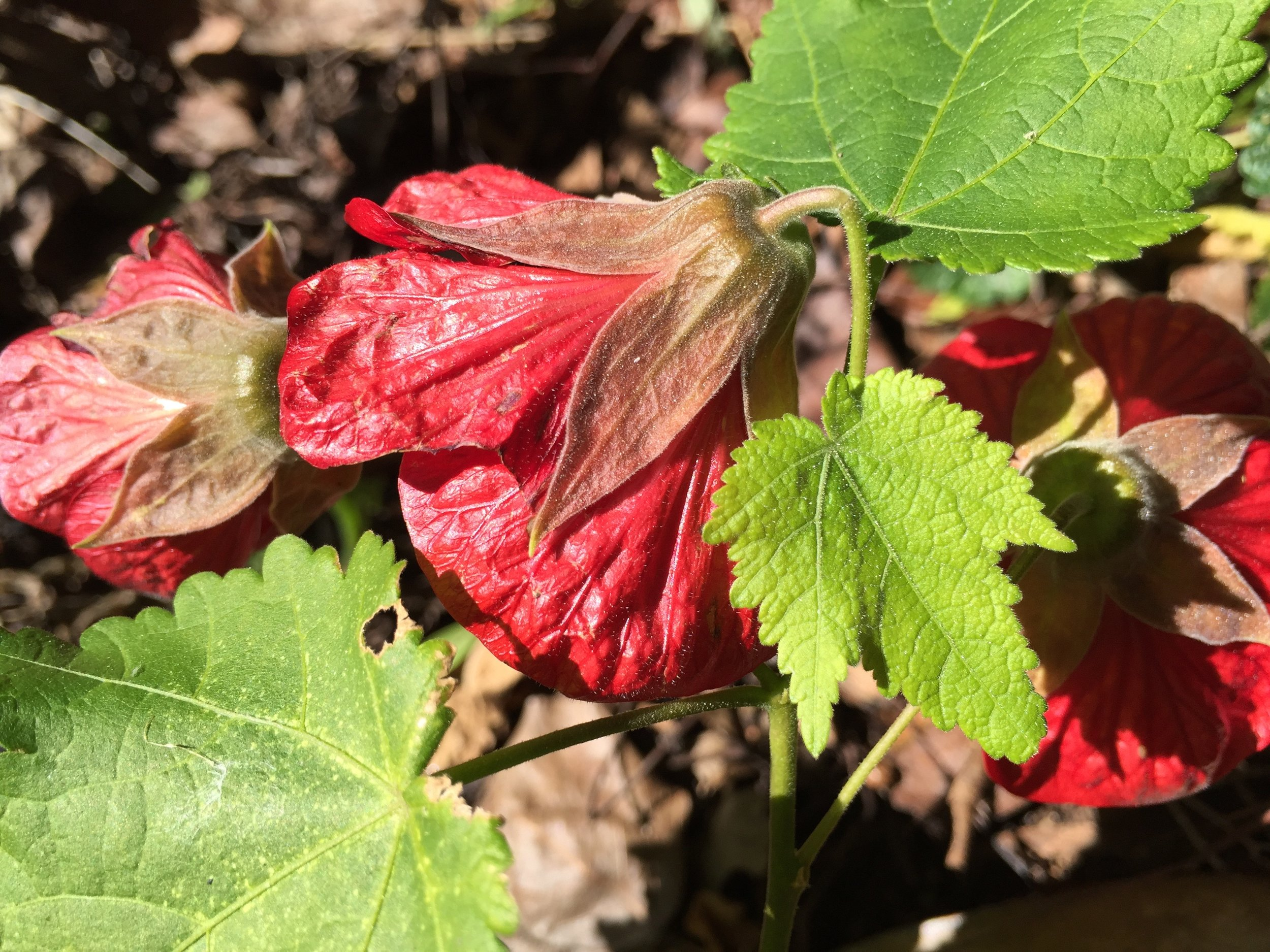Abutilon hybridum  'Red Princess'