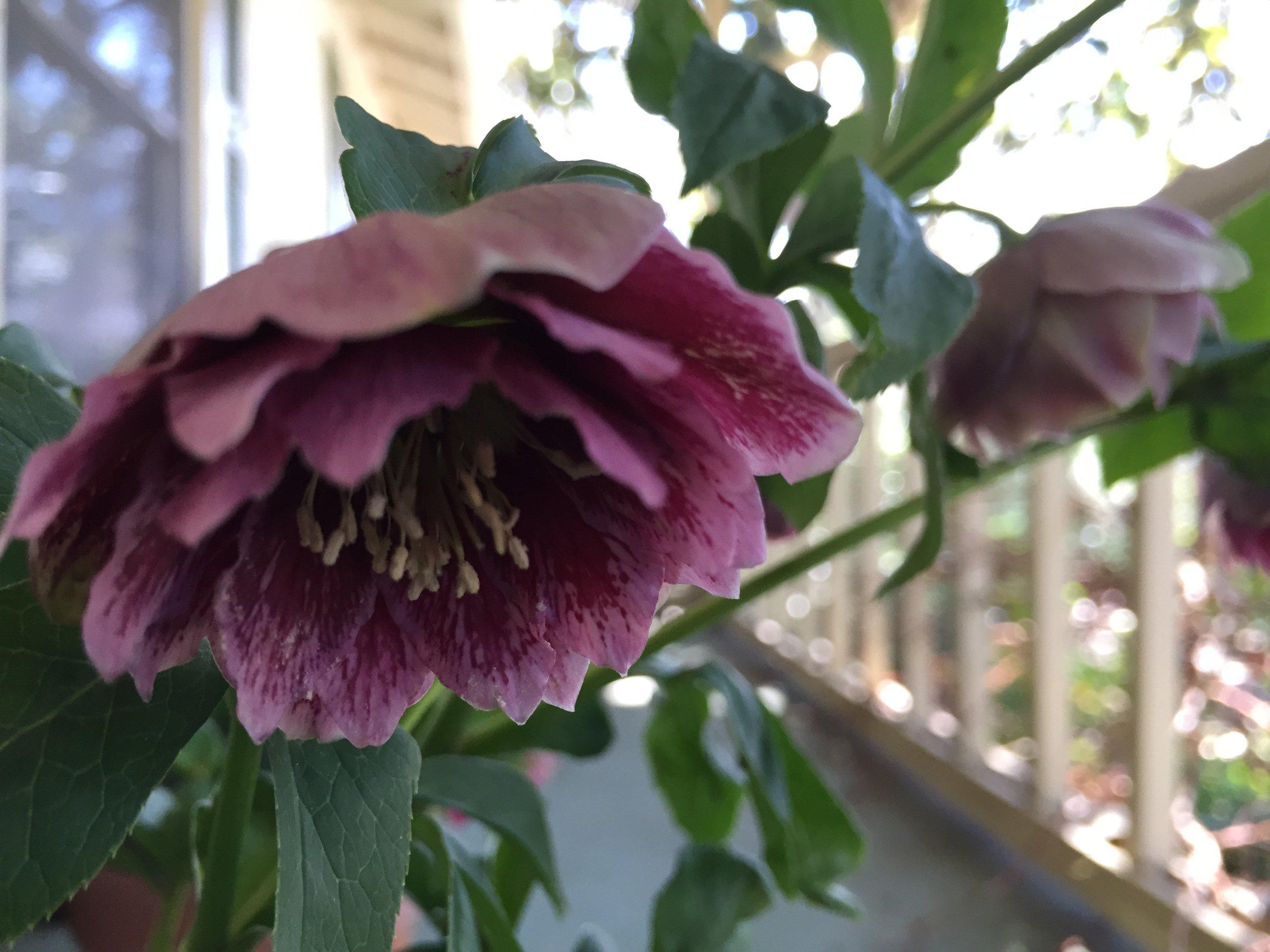 Helleborus orientalis  'Pretty Ellen Purple'