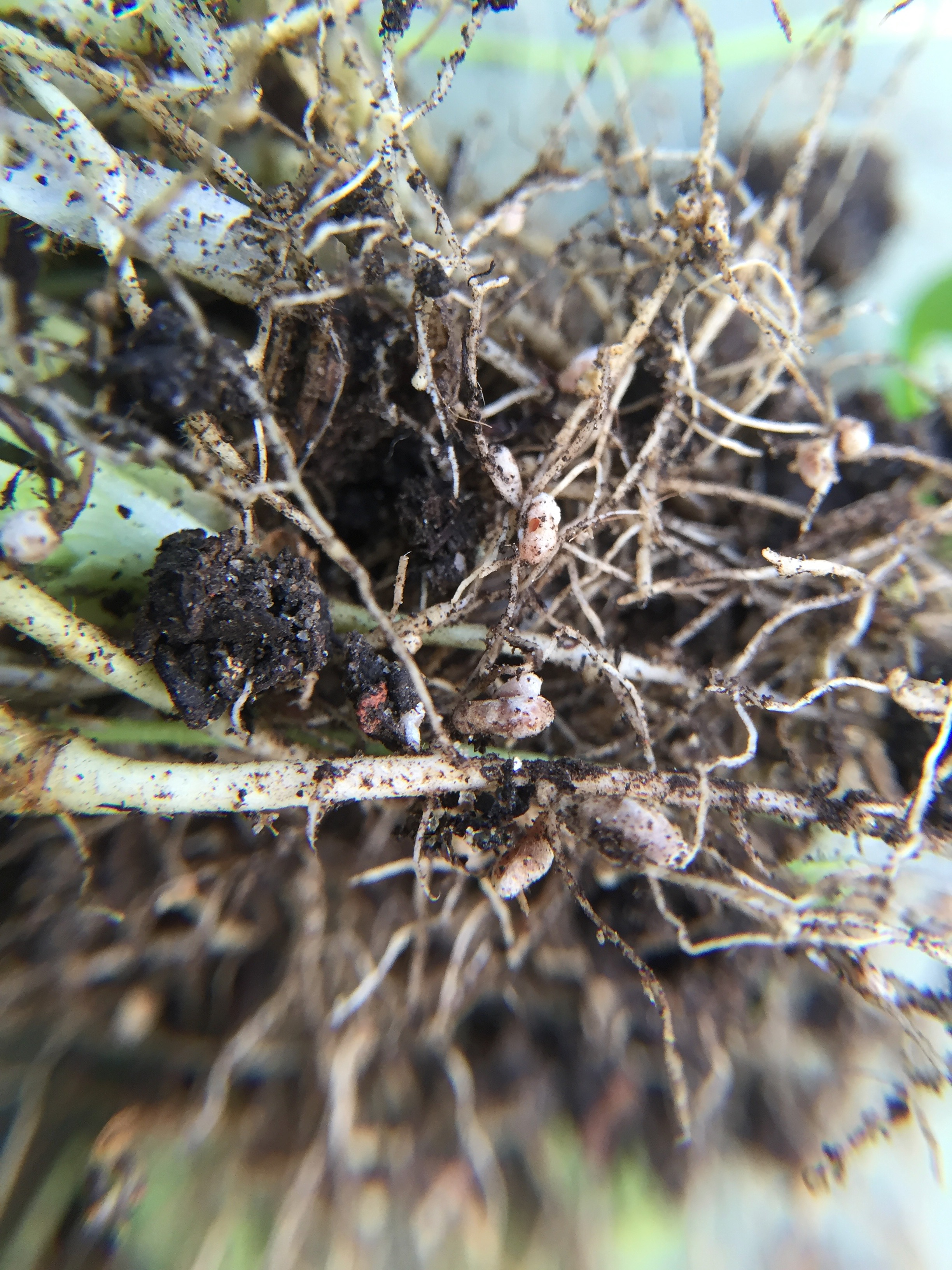 Nitrogen nodules on the roots of the clover