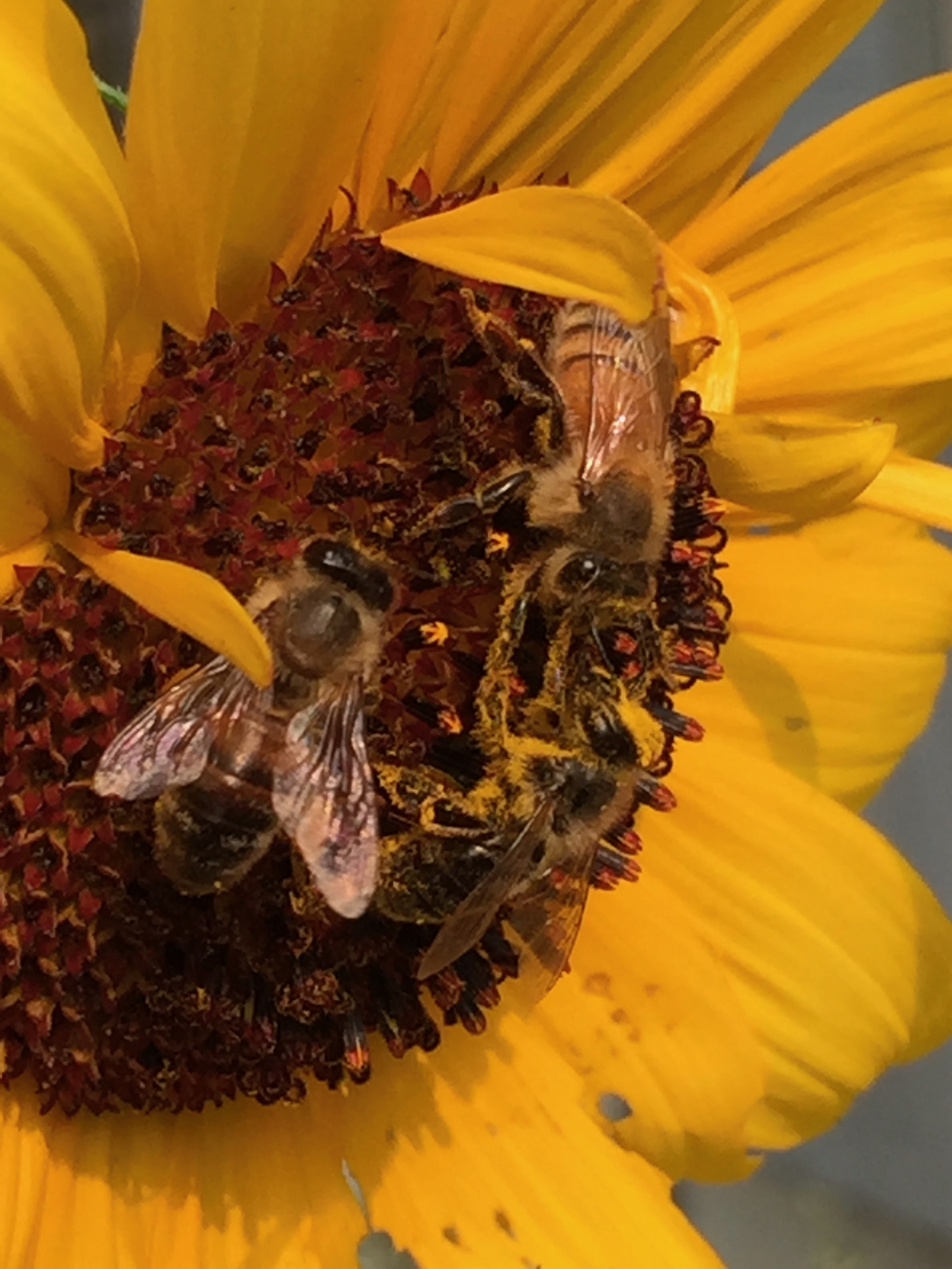 I grew, from seed, hundreds of sunflowers this year, and gave away most. I planted about 50 in the garden, though, and we have enjoyed them so much. Some are knee-high, some are higher than our fruit trees; some are red, some brown, some yellow; all the centers have been different colors, from dark to light; the bees have loved them all. Is there any more cheerful flower?