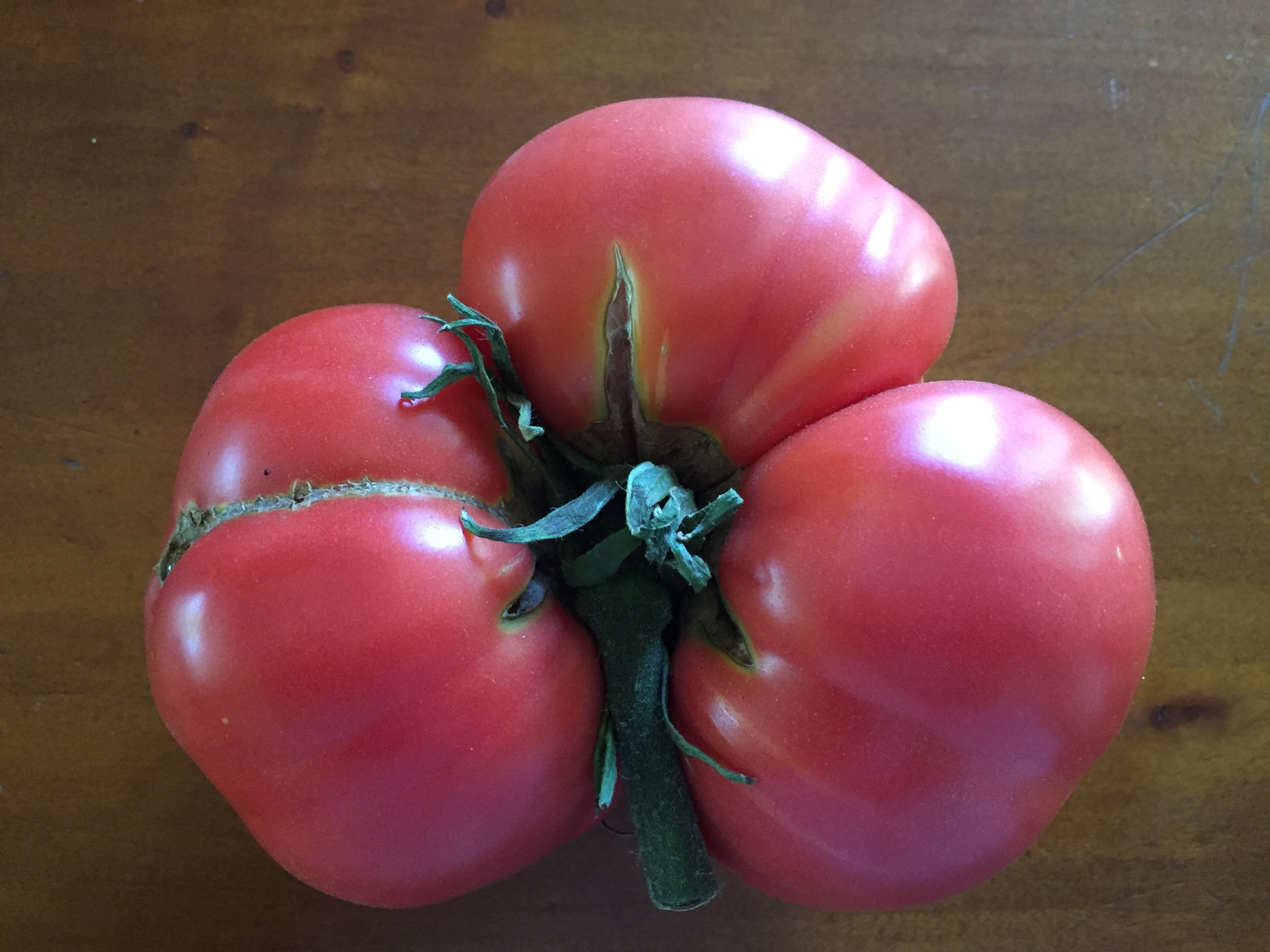 The biggest tomato yet - a variety called 'Dester' - this one is over a pound.