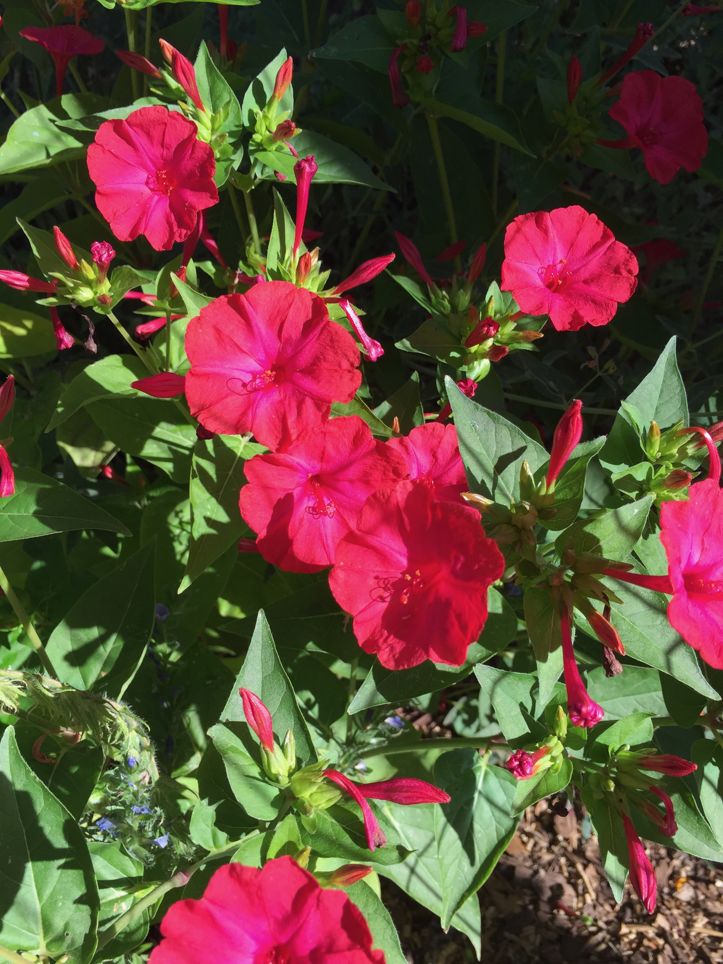 The Four O'Clocks re-seeded and are blooming everywhere at dawn and dusk, lighting up the garden with their neon pink.