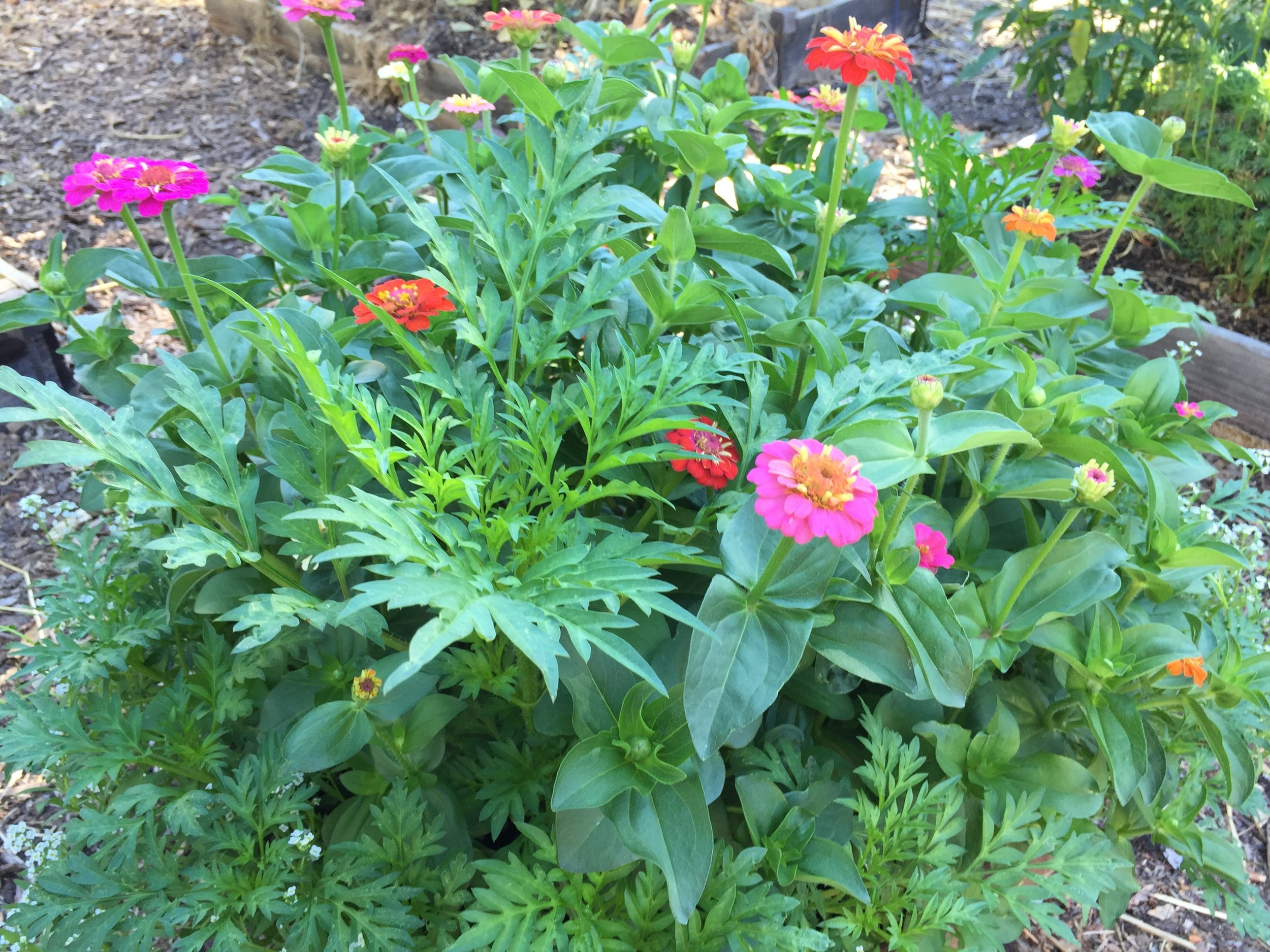 Zinnias and cosmos are my staple summer flower, and I seed them in every corner I can find. Finally, they are starting to bloom.