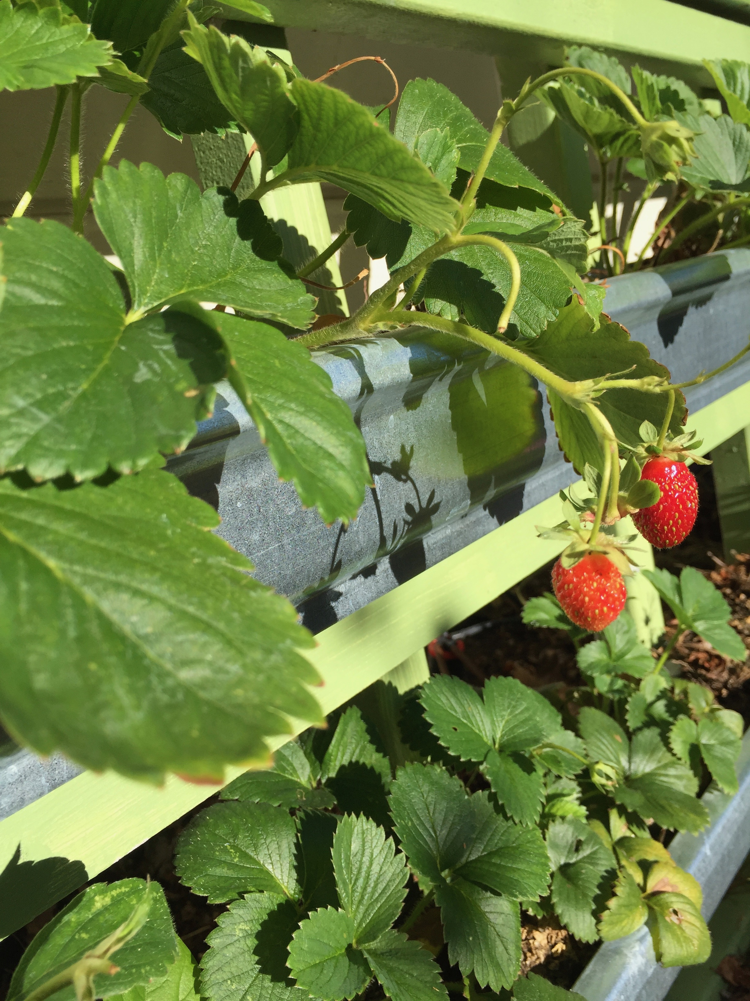 We're still getting strawberries and blueberries every day. The blackberries are also starting to ripen.