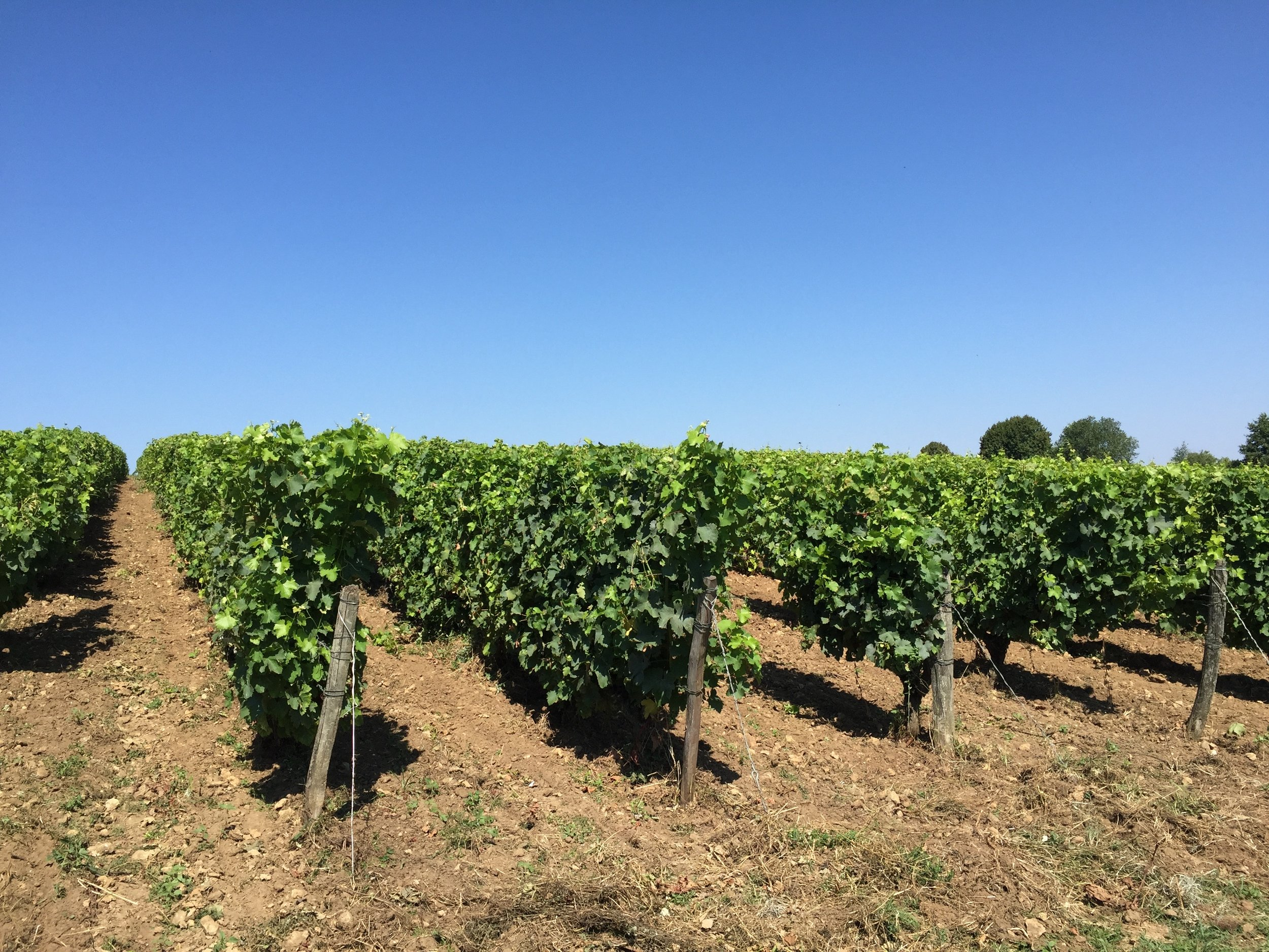 At Domaine de Clos Rousilly, some of the grape vines are in a field above the limestone cellar where the wine is processed