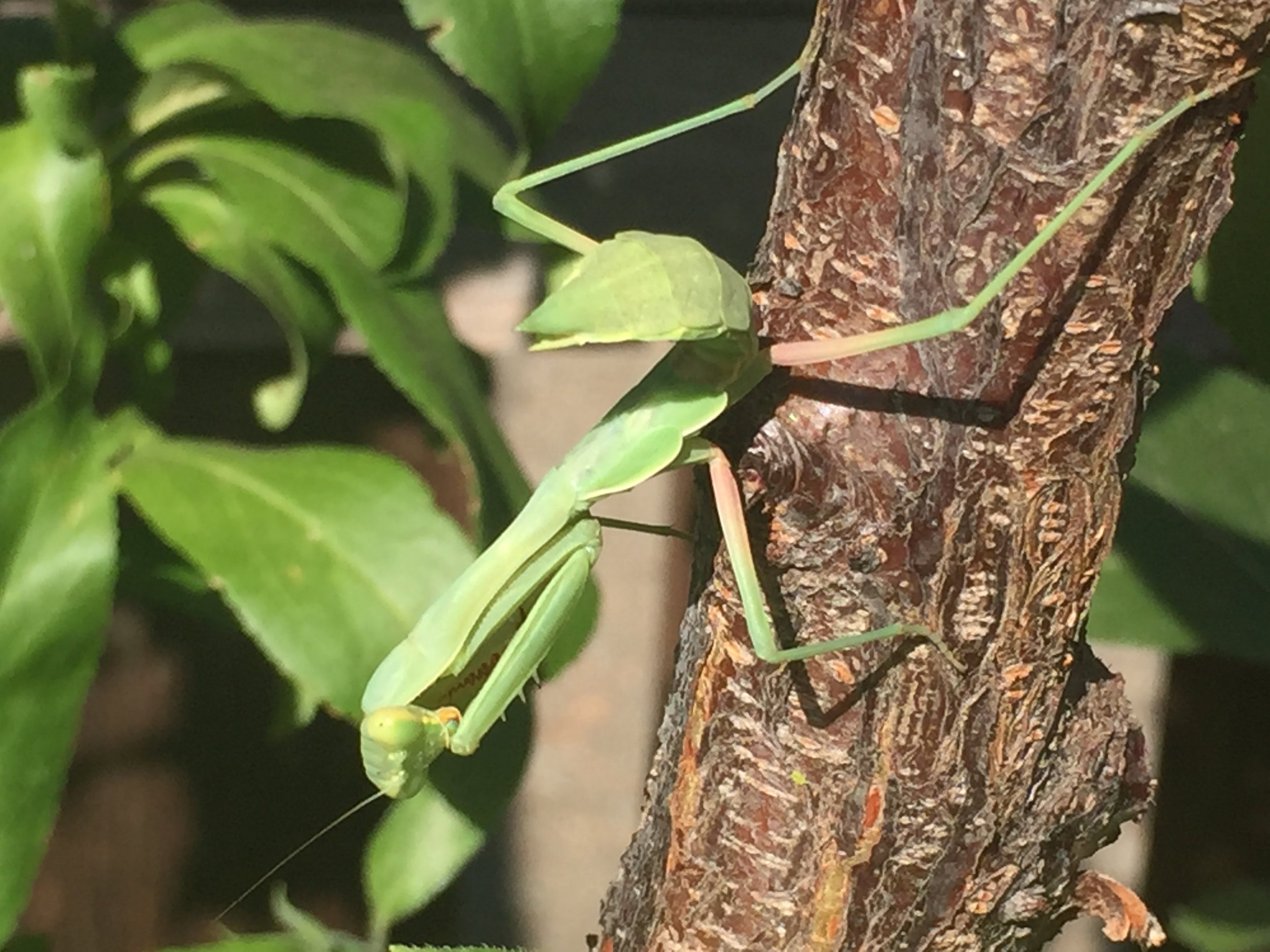 Likely a juvenile female  Stegmomantis californica