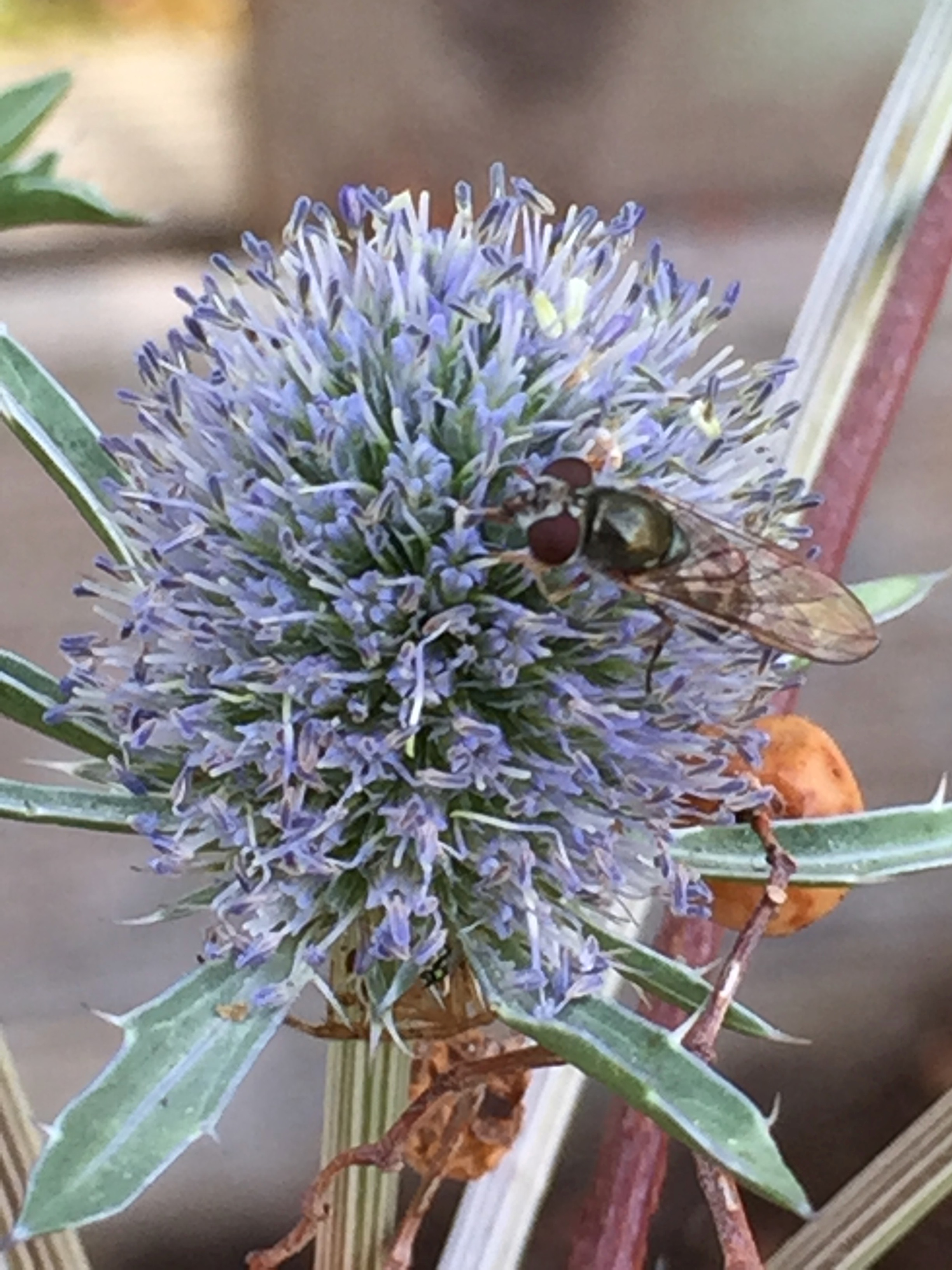 another hoverfly, this time on the  Eryngium