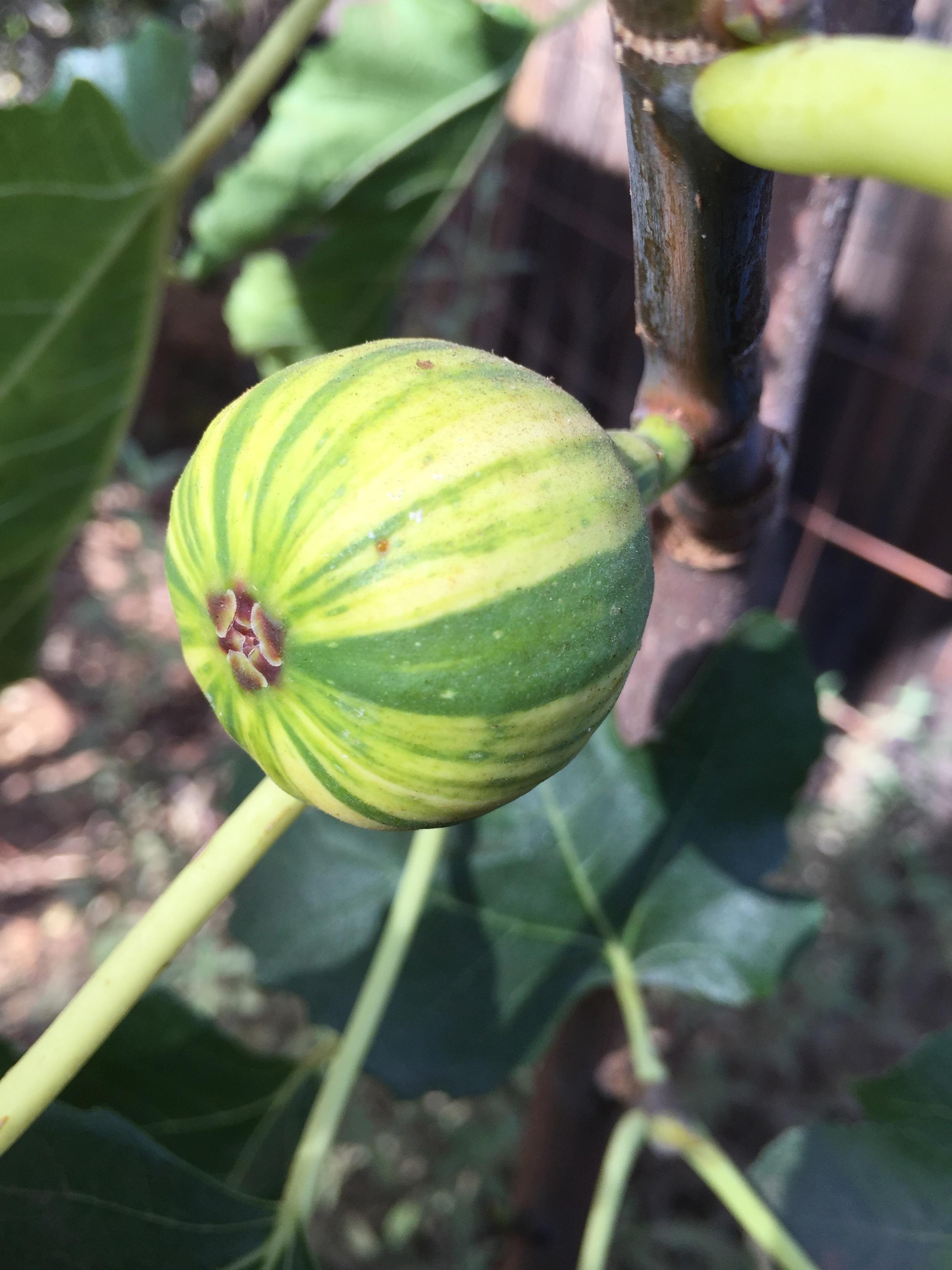 'Panache' fig