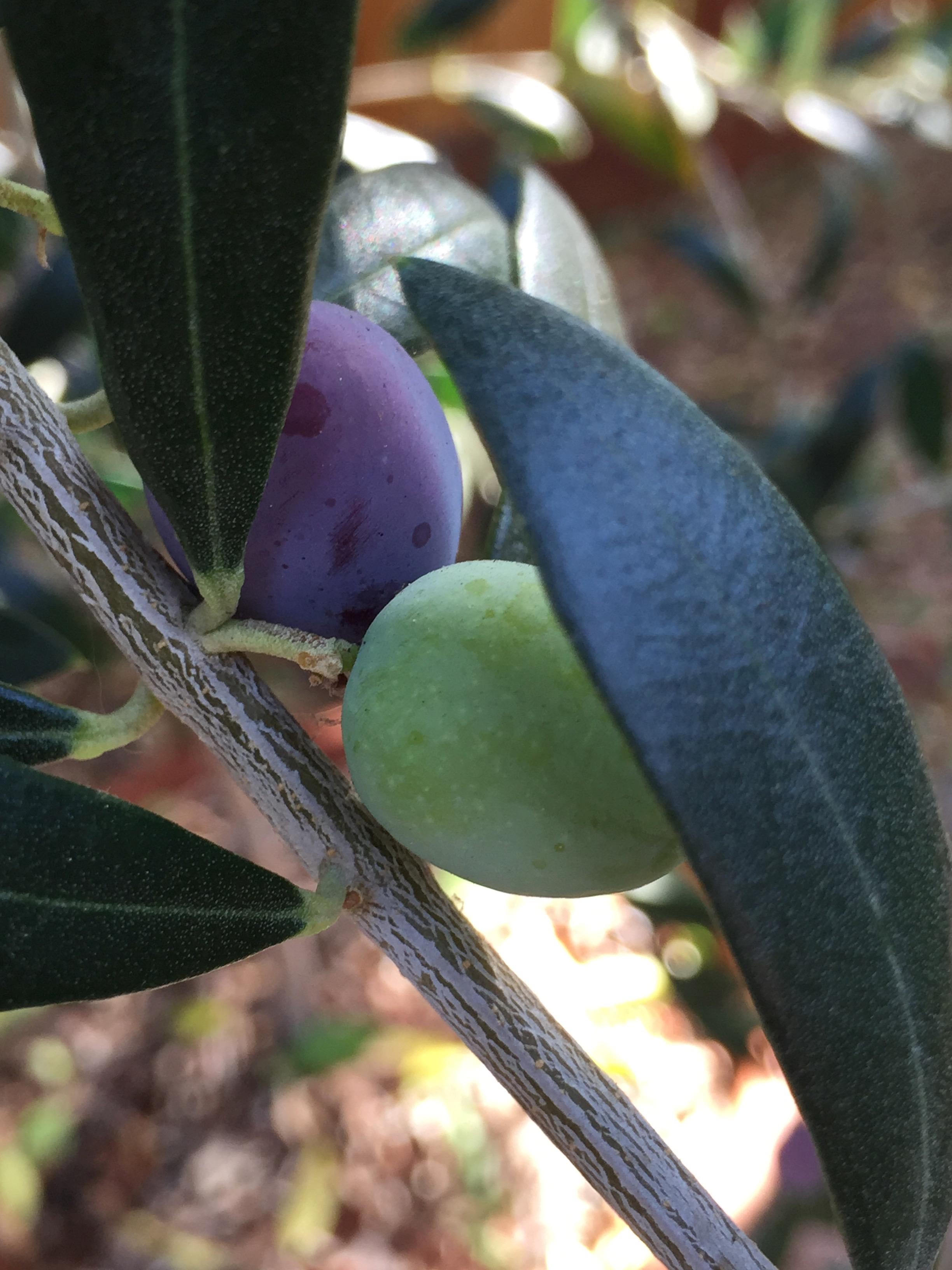 'Arbequina' olive