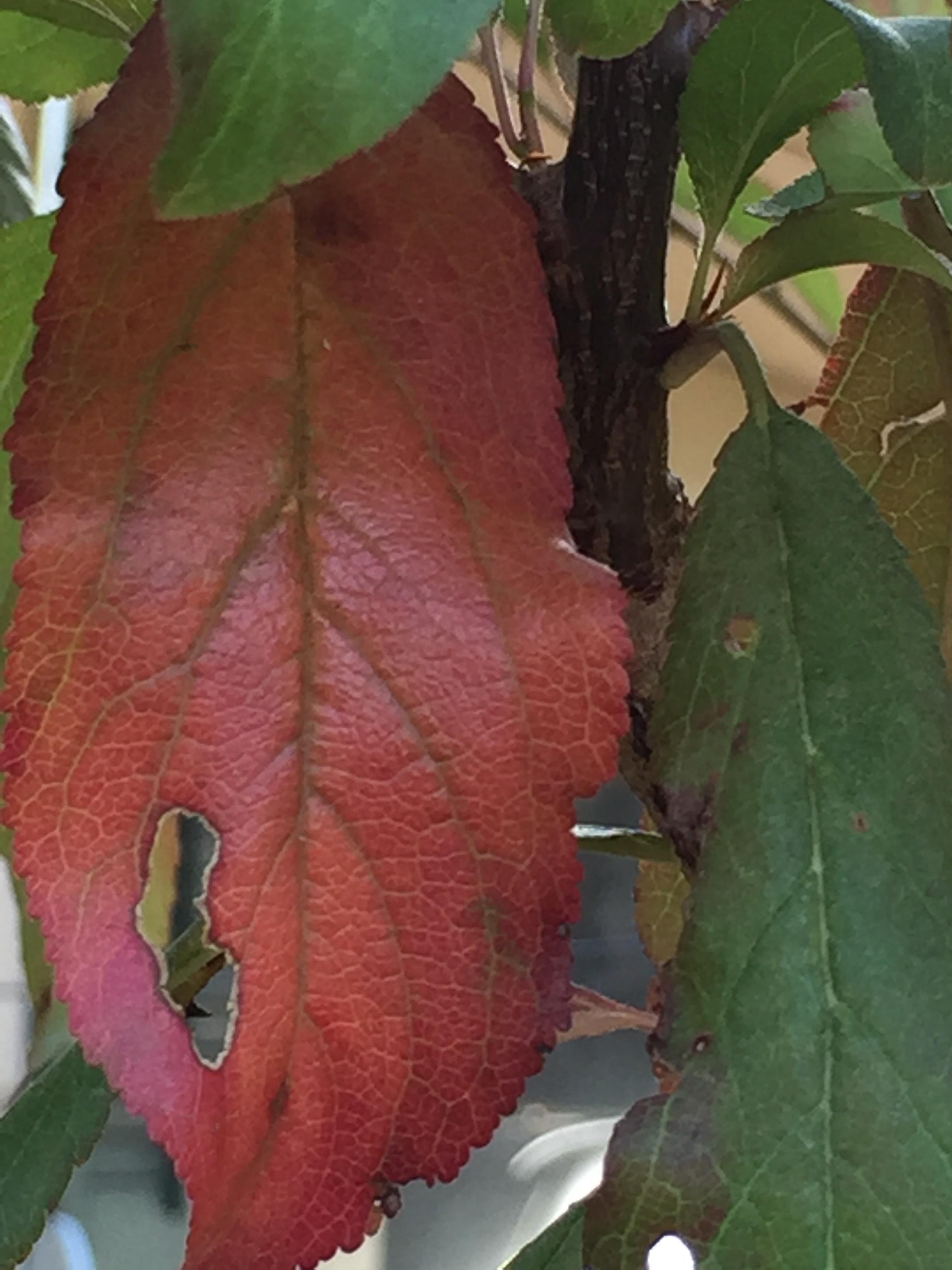 a plum leaf