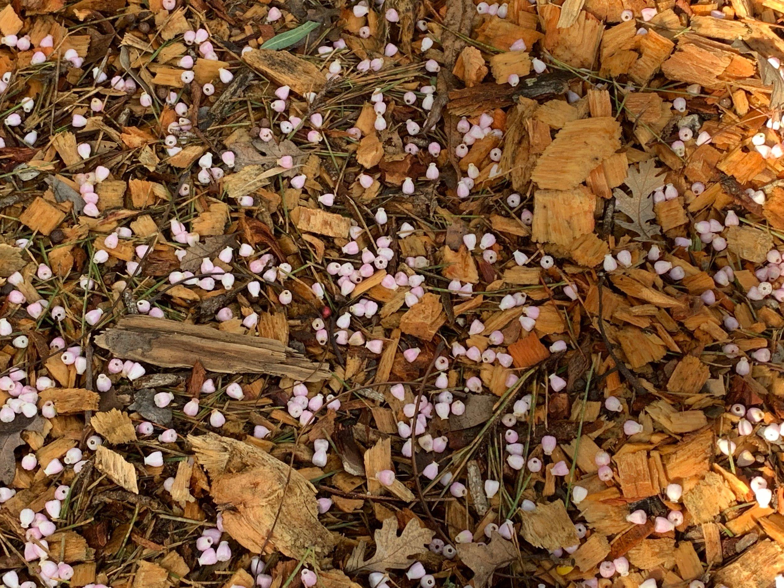 Manzanita blossoms falling to the wood chips below