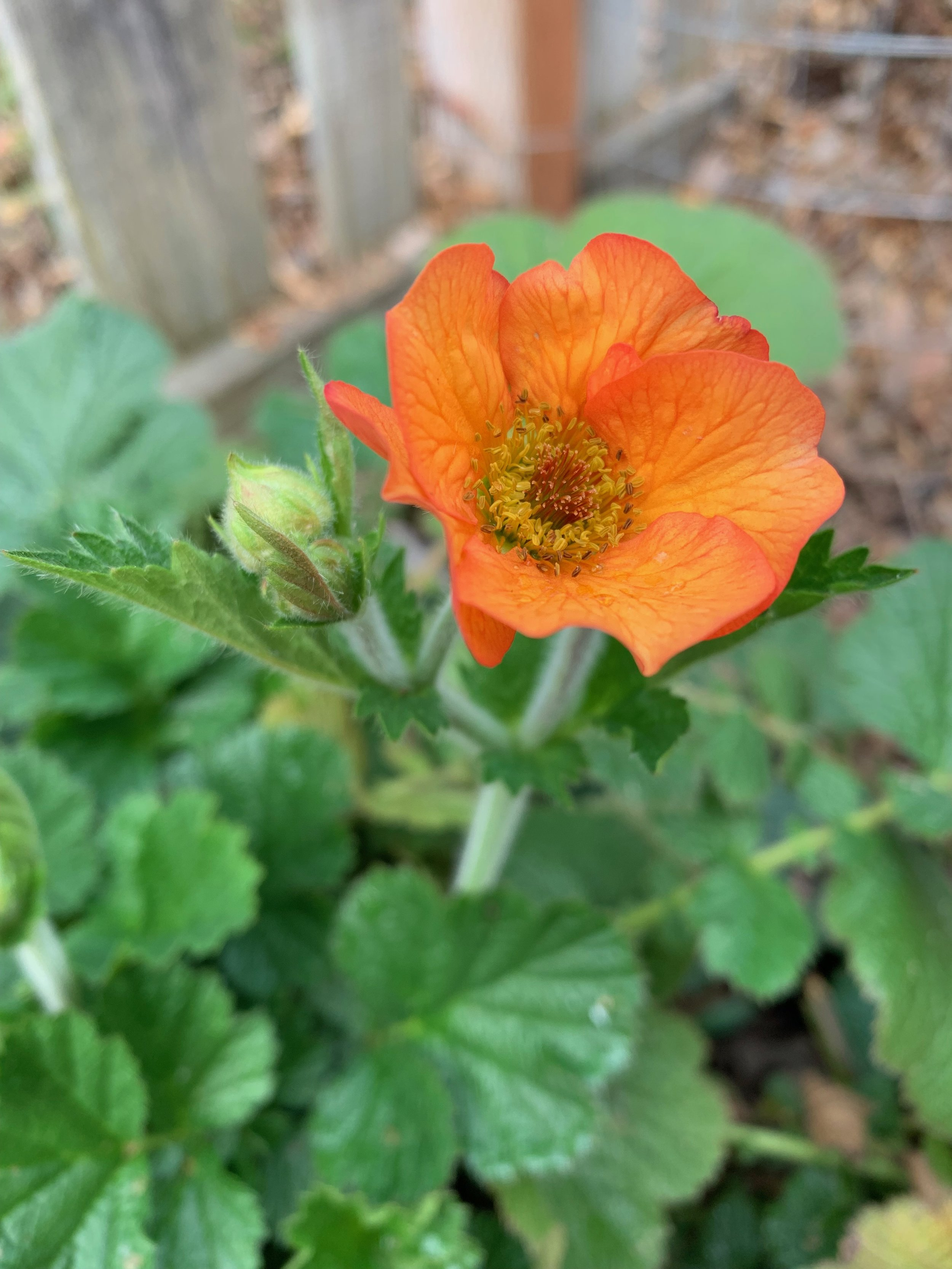 Believe it or not, some  Geum  plants are blooming!