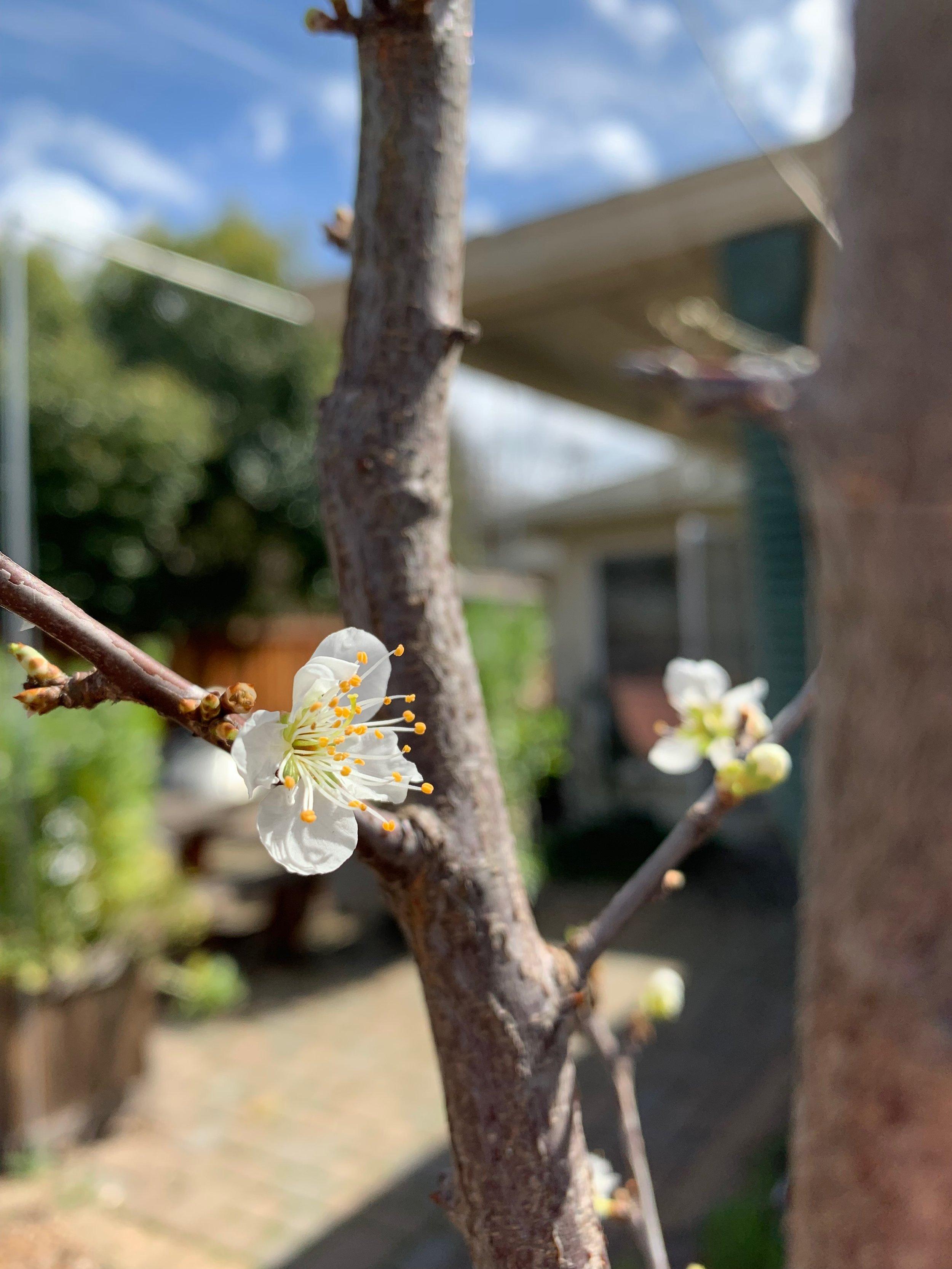 Santa Rosa plum