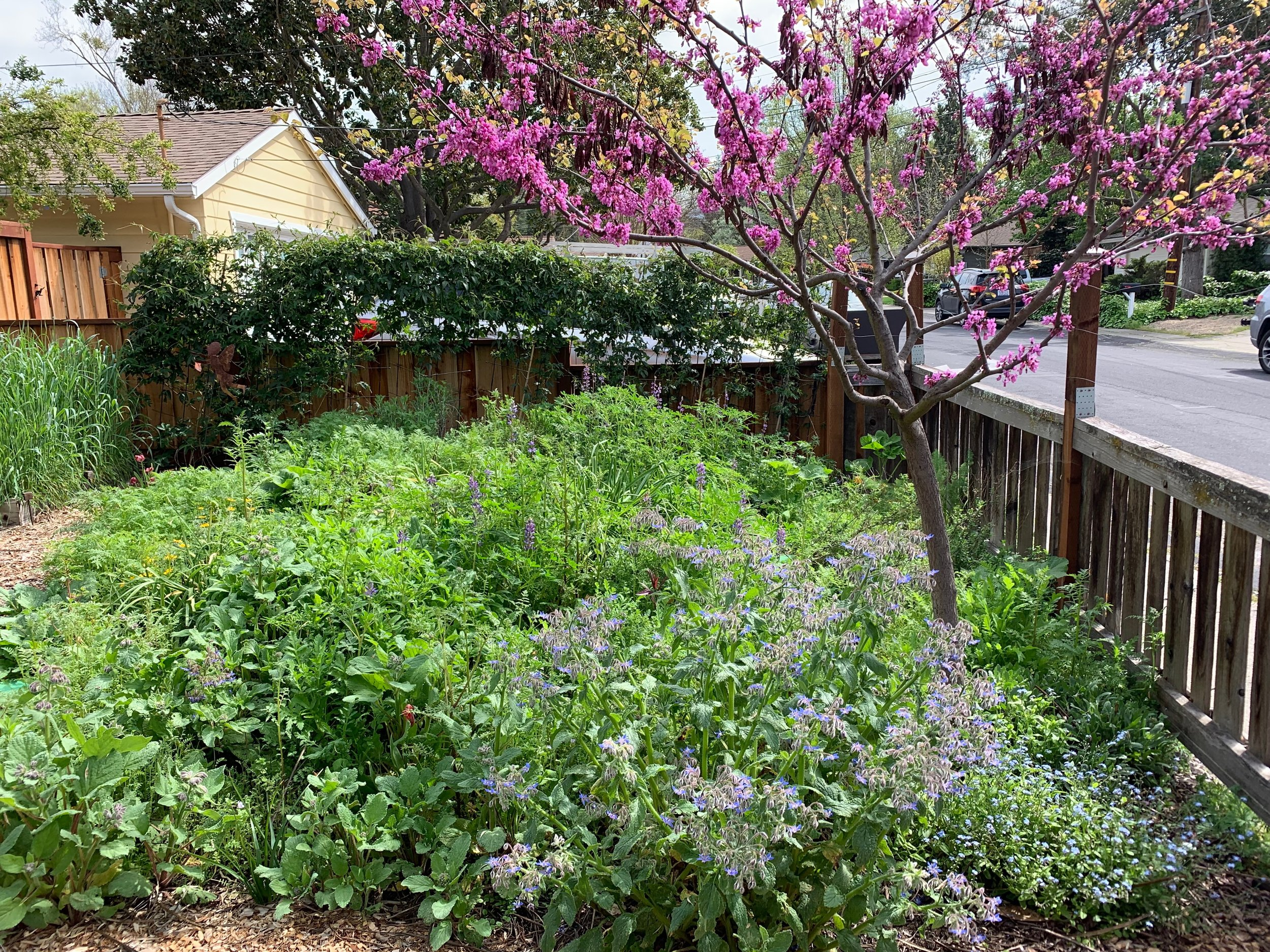 The pollinator garden just about to burst. Redbud, lupine, borage, five spot, forget-me-not, and soon to be covered with phacelia.