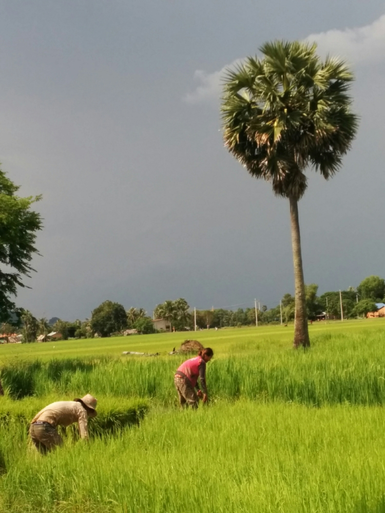 Harvesting in Kampong Speu, Cambodia.