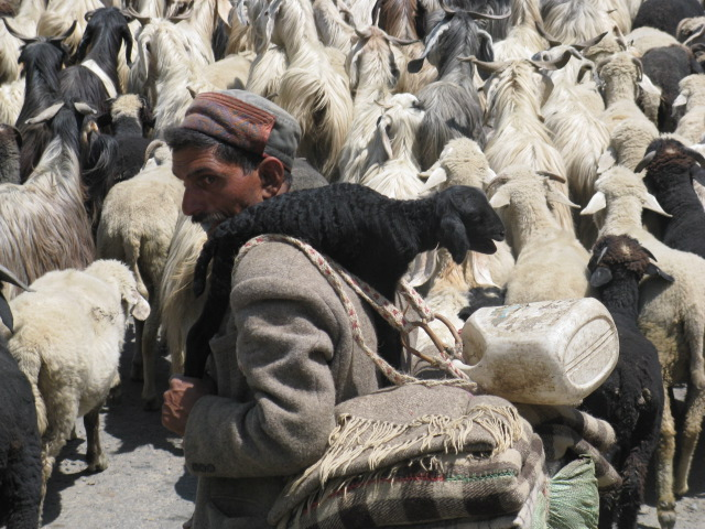 Following the market? A classic Himalayan shepherd with his goats.