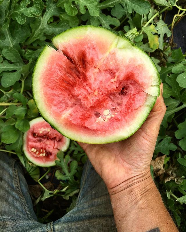 Another little Japanese heirloom. . . . . #watermelon #summerharvest #specialtyproduce #handtended #eatlocal #pdxfood #pdxeats #pdxfarmer