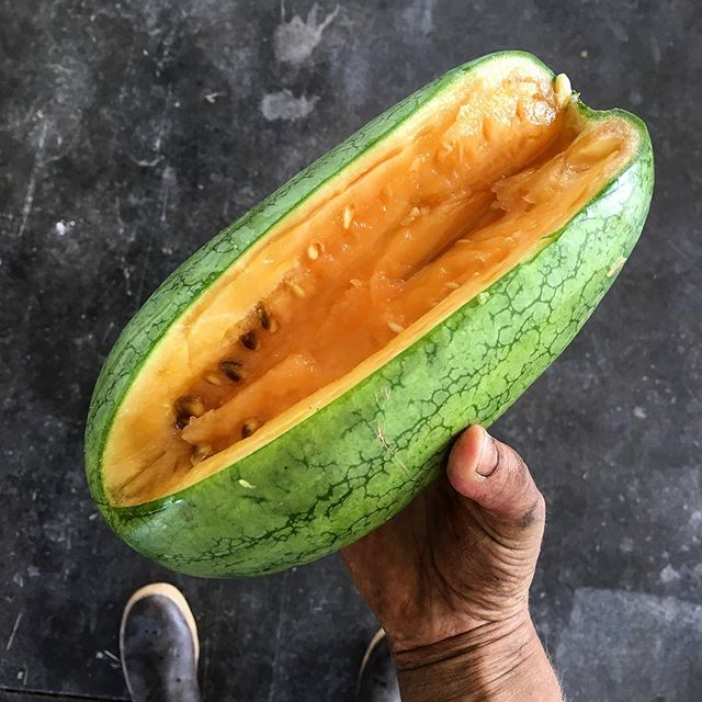 Tried out a couple of unique, small varieties of Japanese watermelon this season. This one is about the size of a football with orangy flesh. Cute, sweet and delicious.... . . . #watermelon #summerharvest #melon #handtended #specialtyproduce #heirloom #pdxfood #pdxeats #pdxfarmer #eatlocal