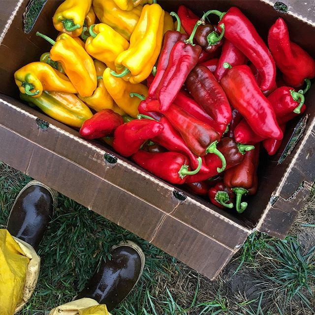 Corno Di Toros . . . #sweetpeppers #cornoditoropeppers #handtended #specialtyproduce #notill #marketfarming #pdxfarmer #pdxfood #pdxeats #eatlocal #eatlocalpdx