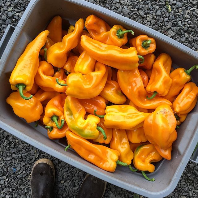 These yellow Corno Di Toro type sweet peppers have been 🔥 . . . #peppers #sweetpeppers #cornoditoro #cornoditoropeppers #specialtyproduce #handtended #notill #marketfarm #smallfarm #pdxfood #pdxfarms #pdxfarmer #eatlocal #eatlocalpdx