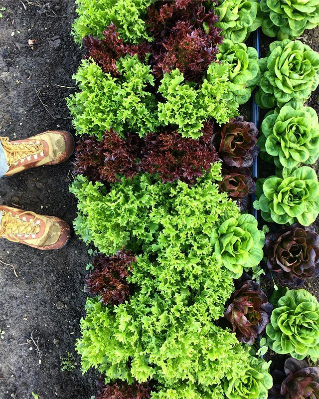 One last cut of the lettuce mix for CSA. . . . #lettuce #smallfarm #handtended #notill #regenerativeagriculture #specialtyproduce #pdxfood #pdxeats #csa #harvest