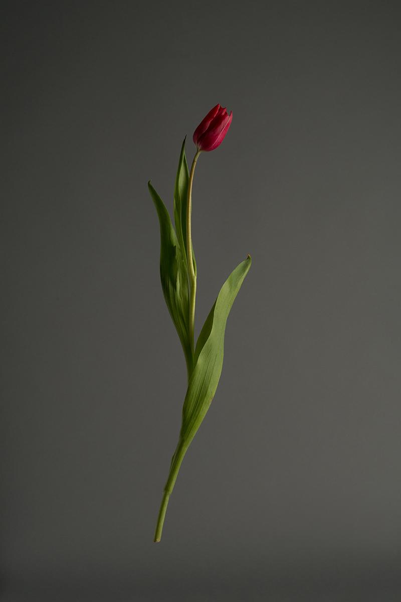 Tulip_web.jpg