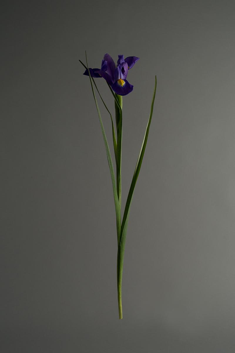 Iris_web.jpg