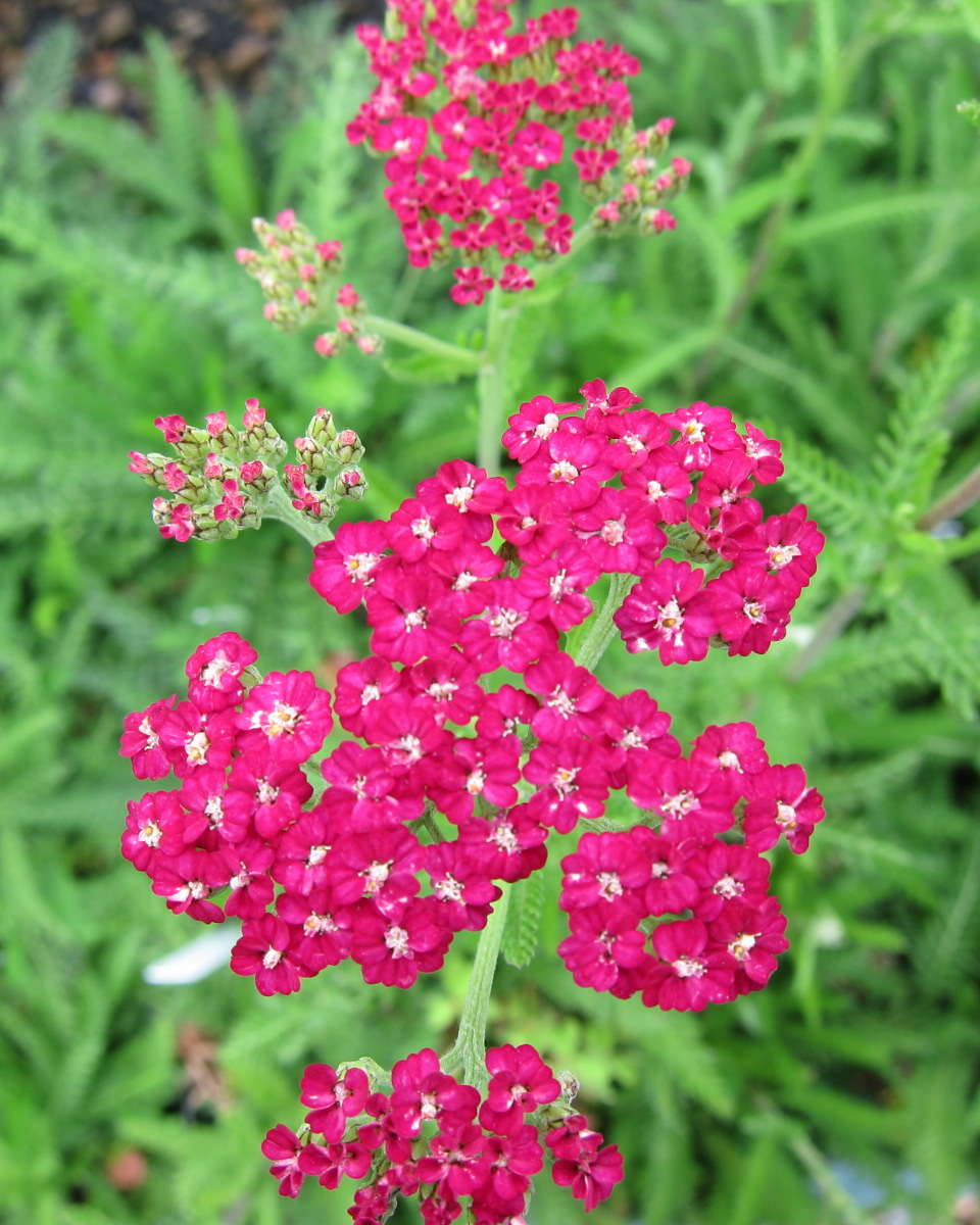 Channel Islands Pink Yarrow