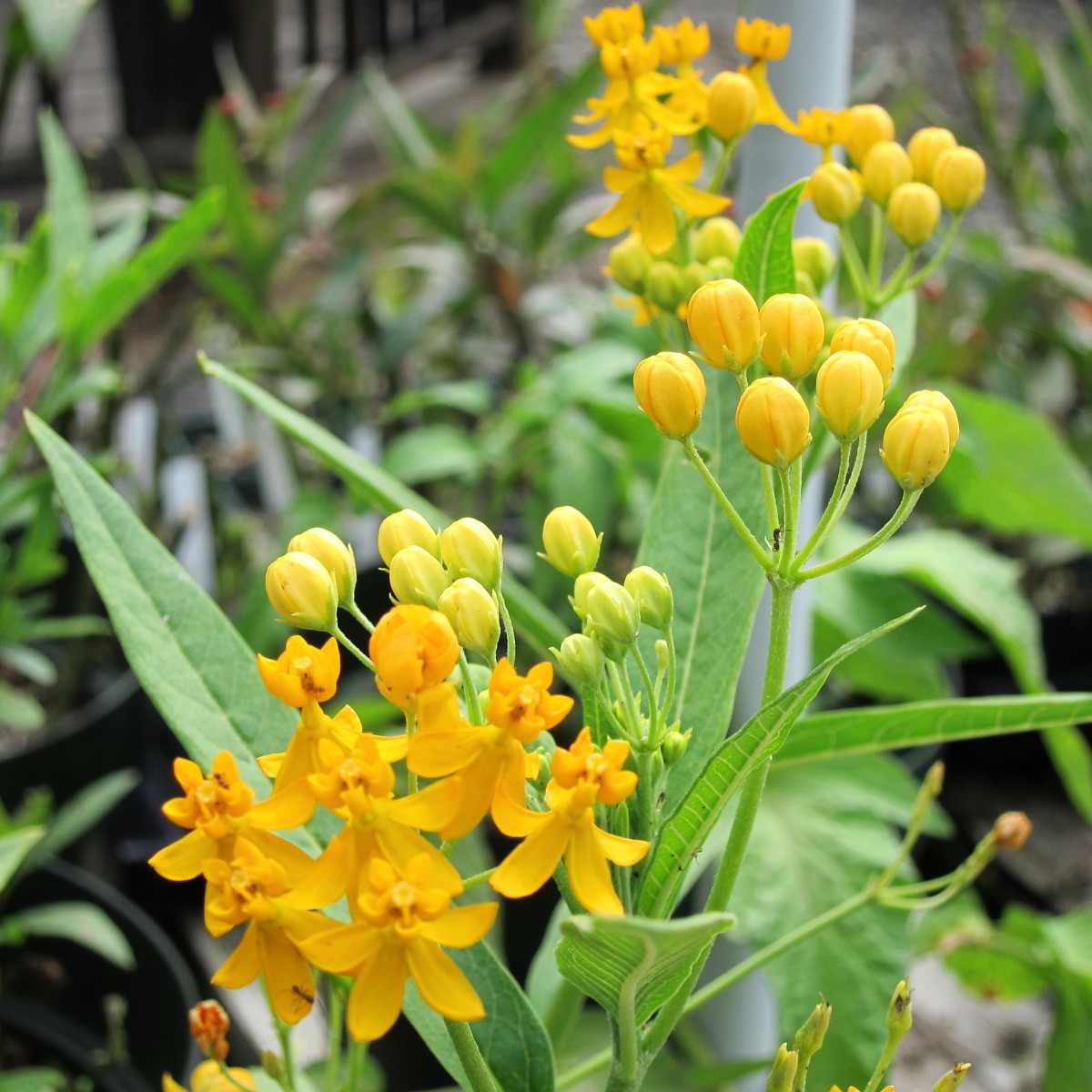 Silky Yellow Milkweed