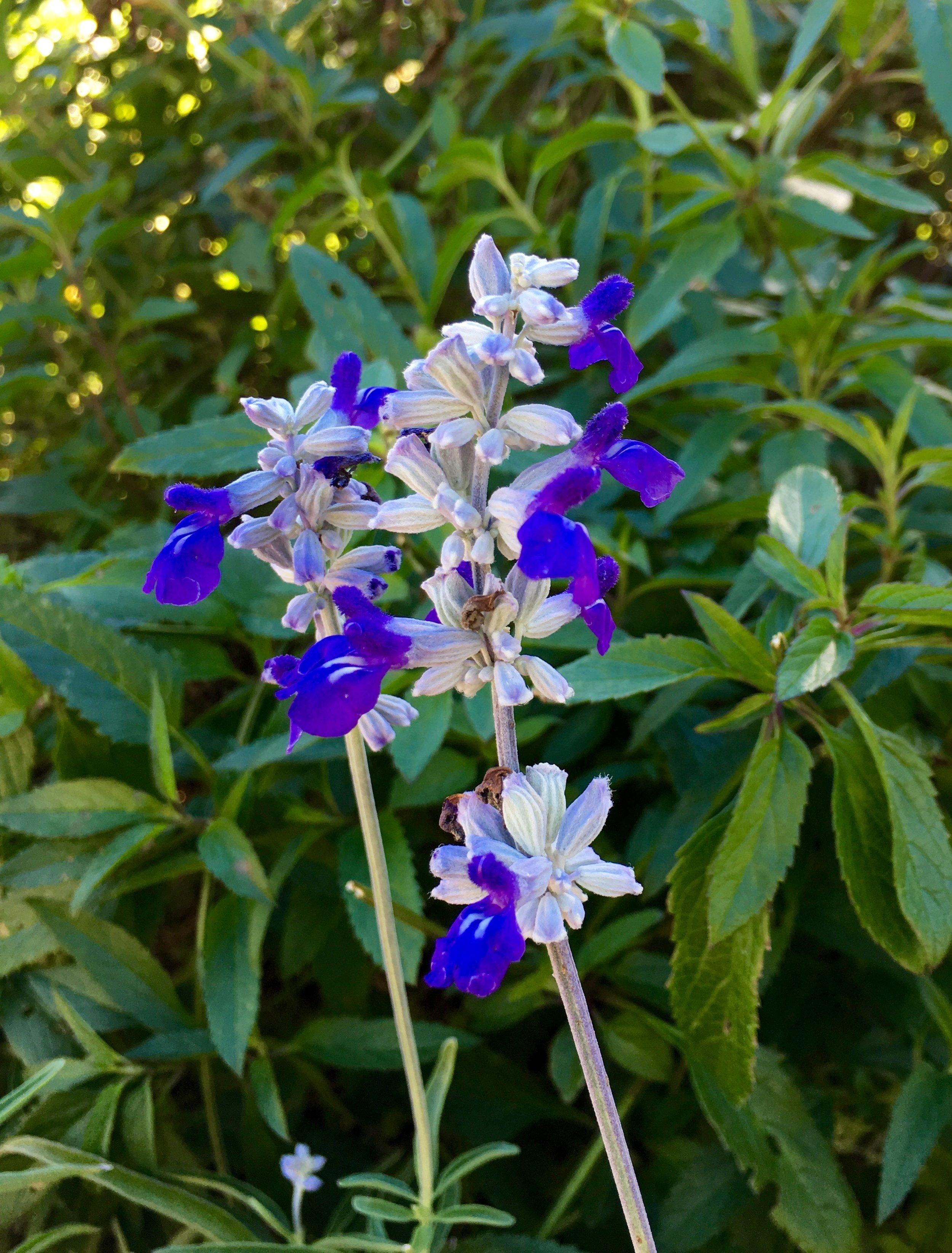 Lilac Spires Sage