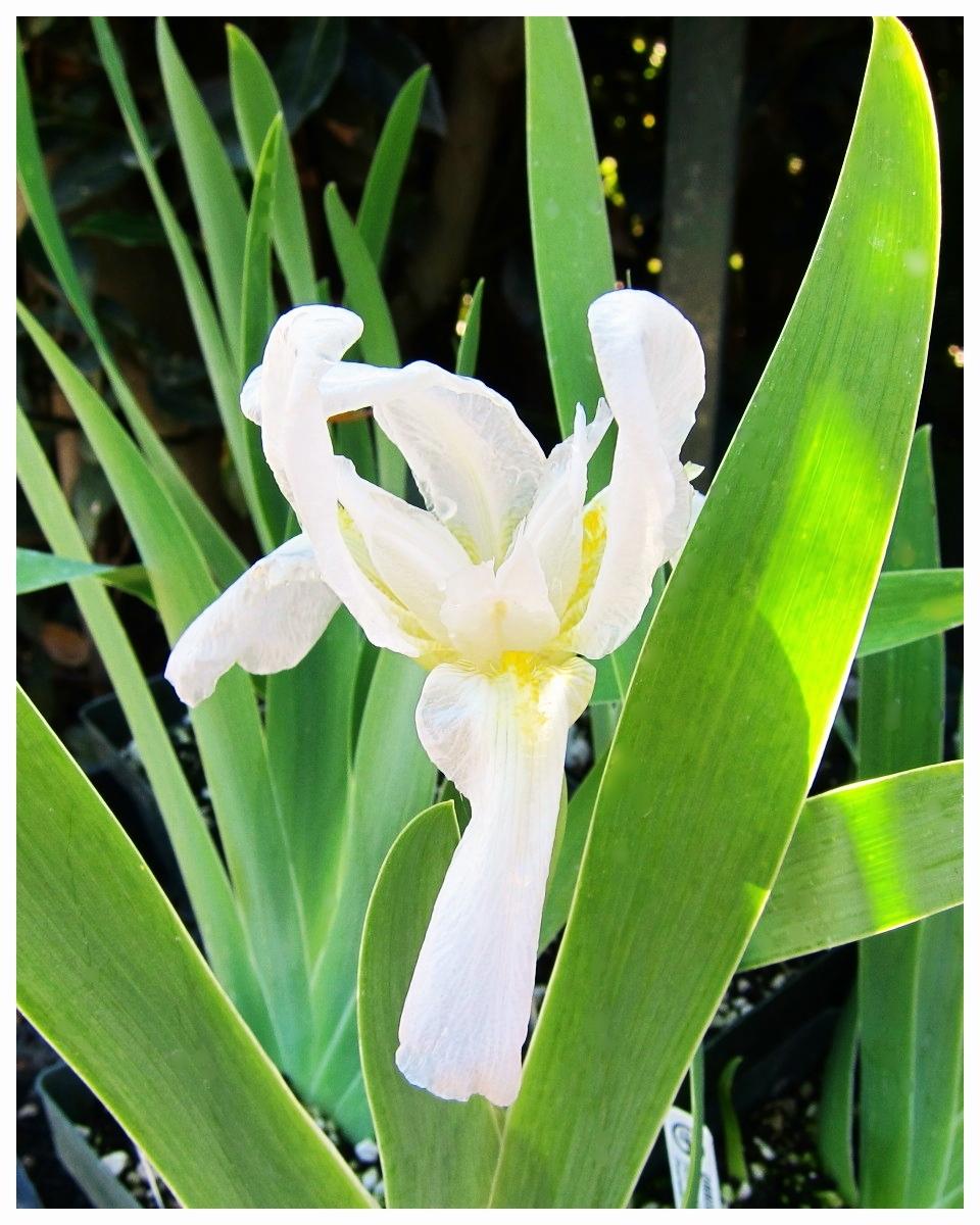 Florentine Iris / Orris Root