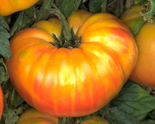Pineapple Heirloom Tomato