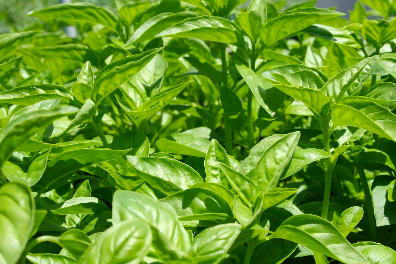 The incomparable Superbo Italian Basil boasts intense, sweet, savory ambrosial flavor!