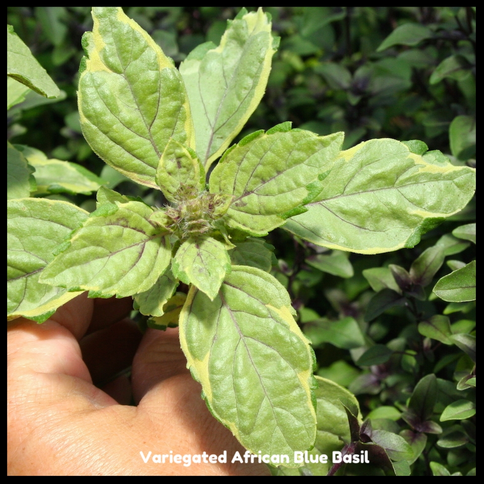 Variegated African Blue Basil