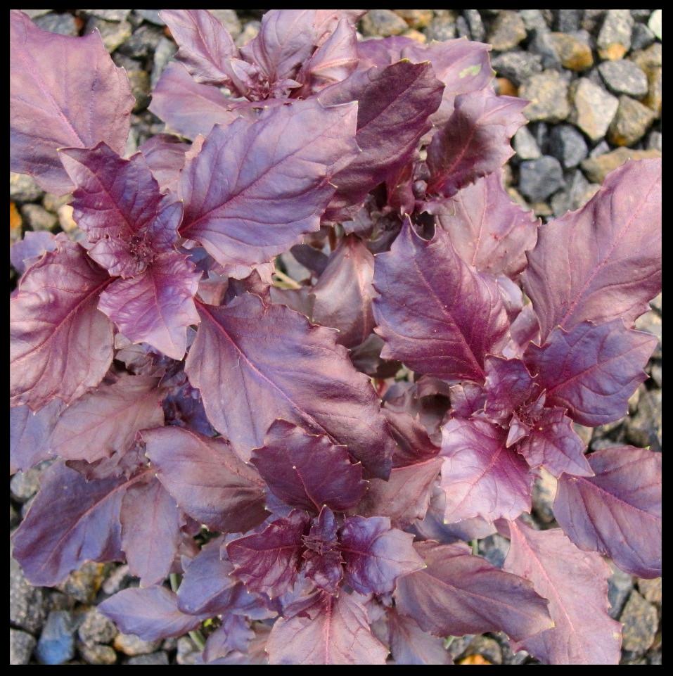 Purple Delight Basil