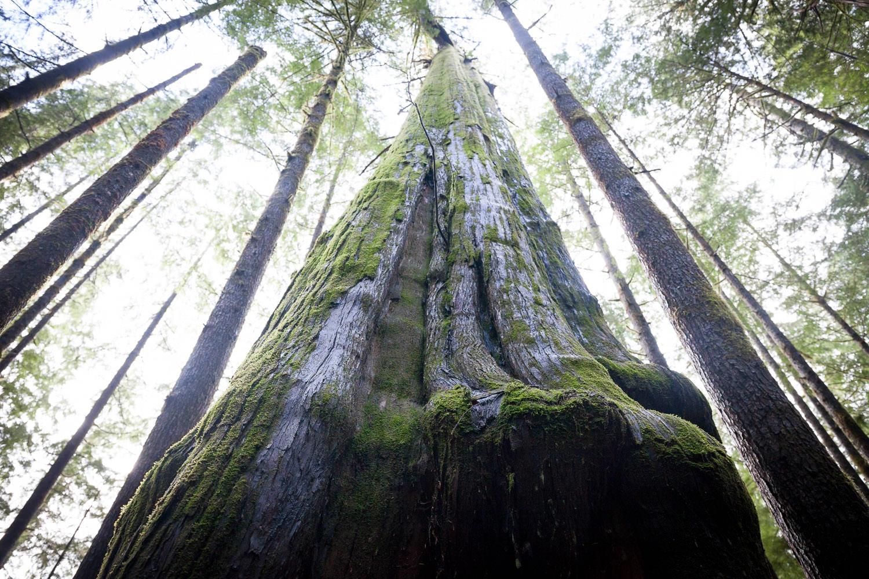 avatar-grove-tall-tree-cedar.jpg