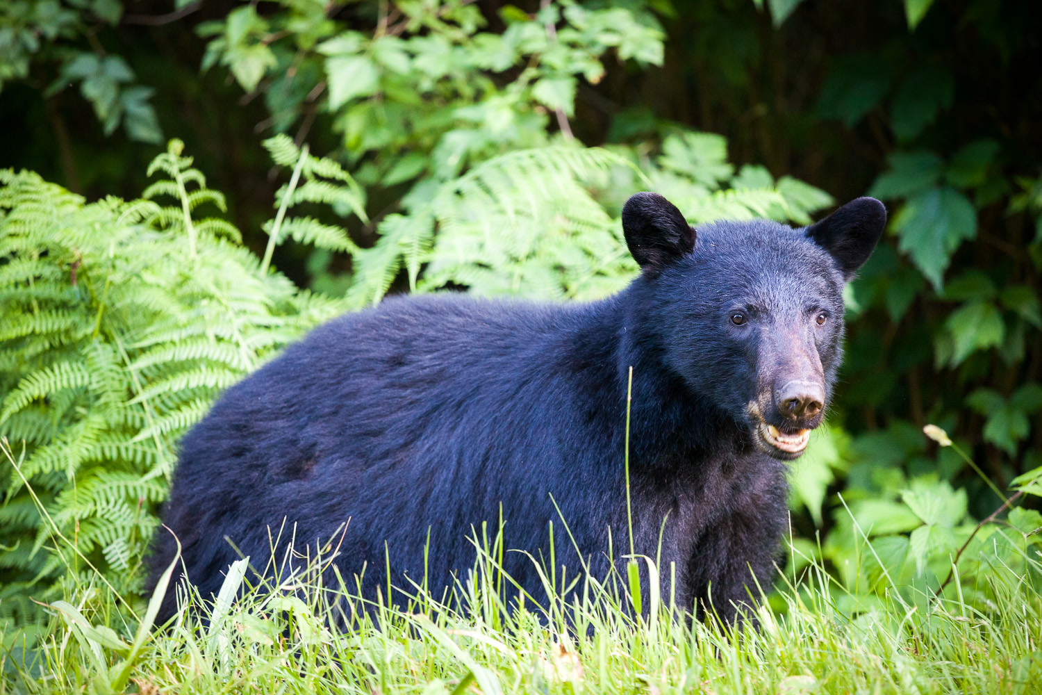 black-bear-port-renfrew-bc.jpg