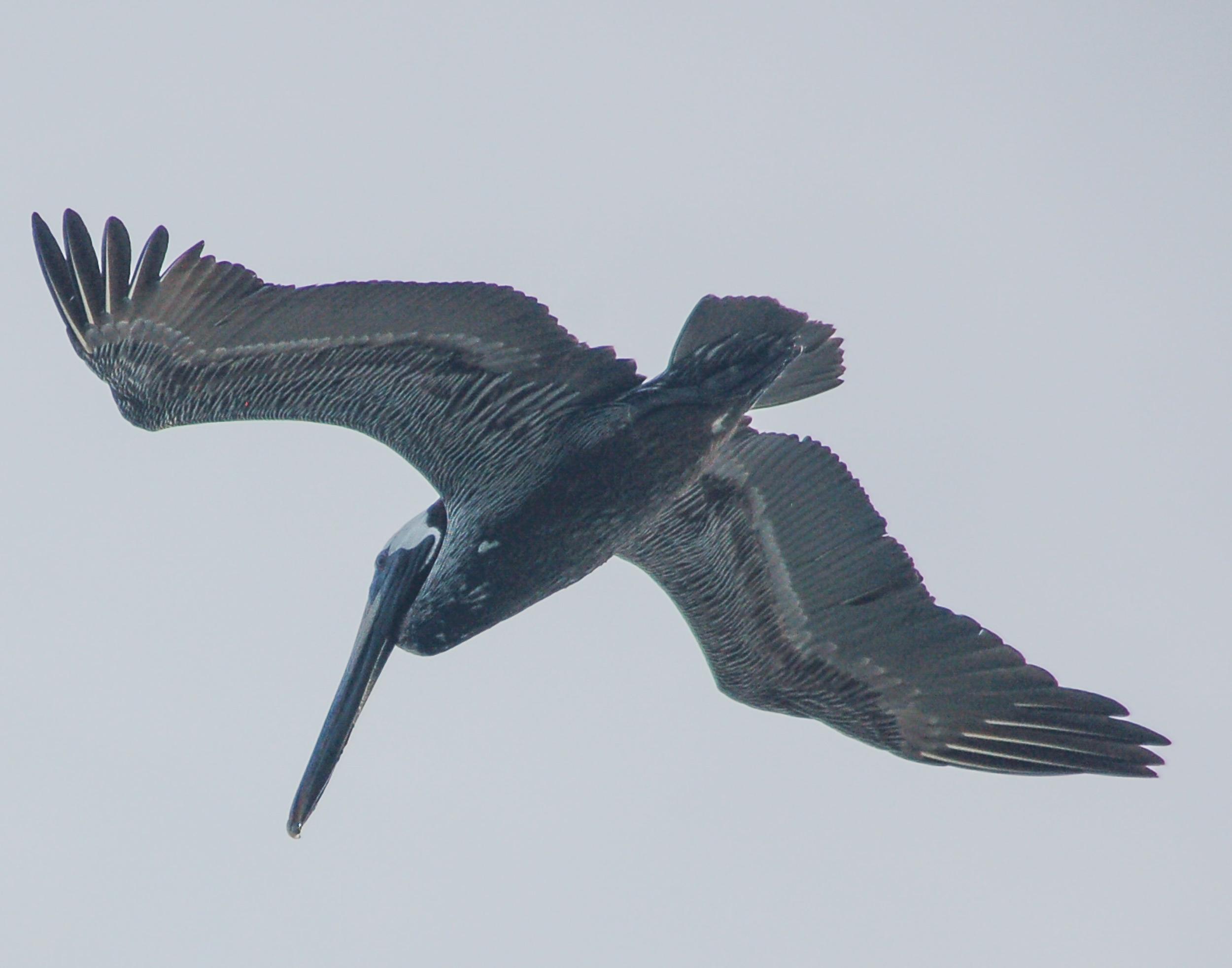151214 Pelican ANU 8x11 flying-026.jpg