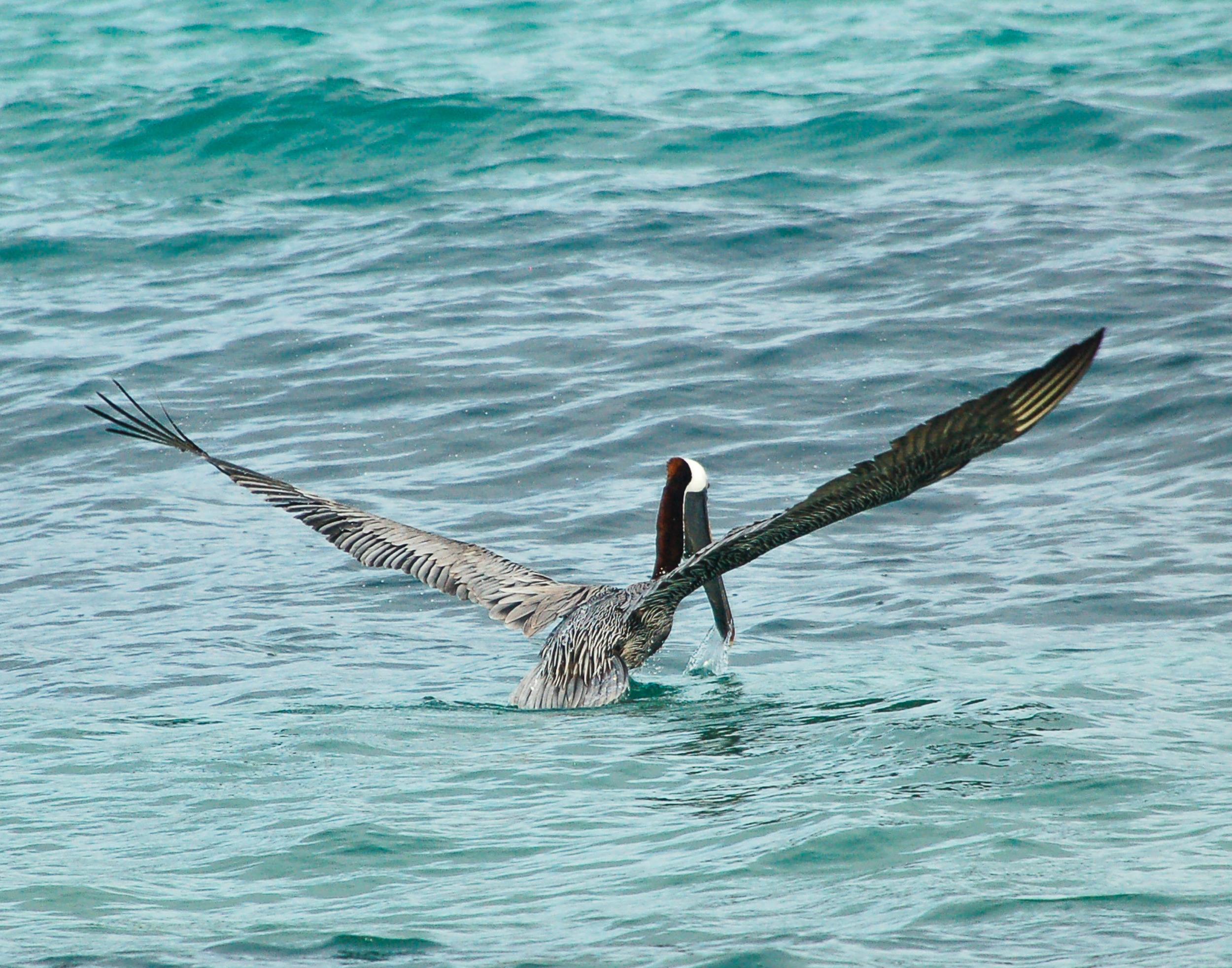 151214 Pelican ANU 8x11 taking off-023.jpg