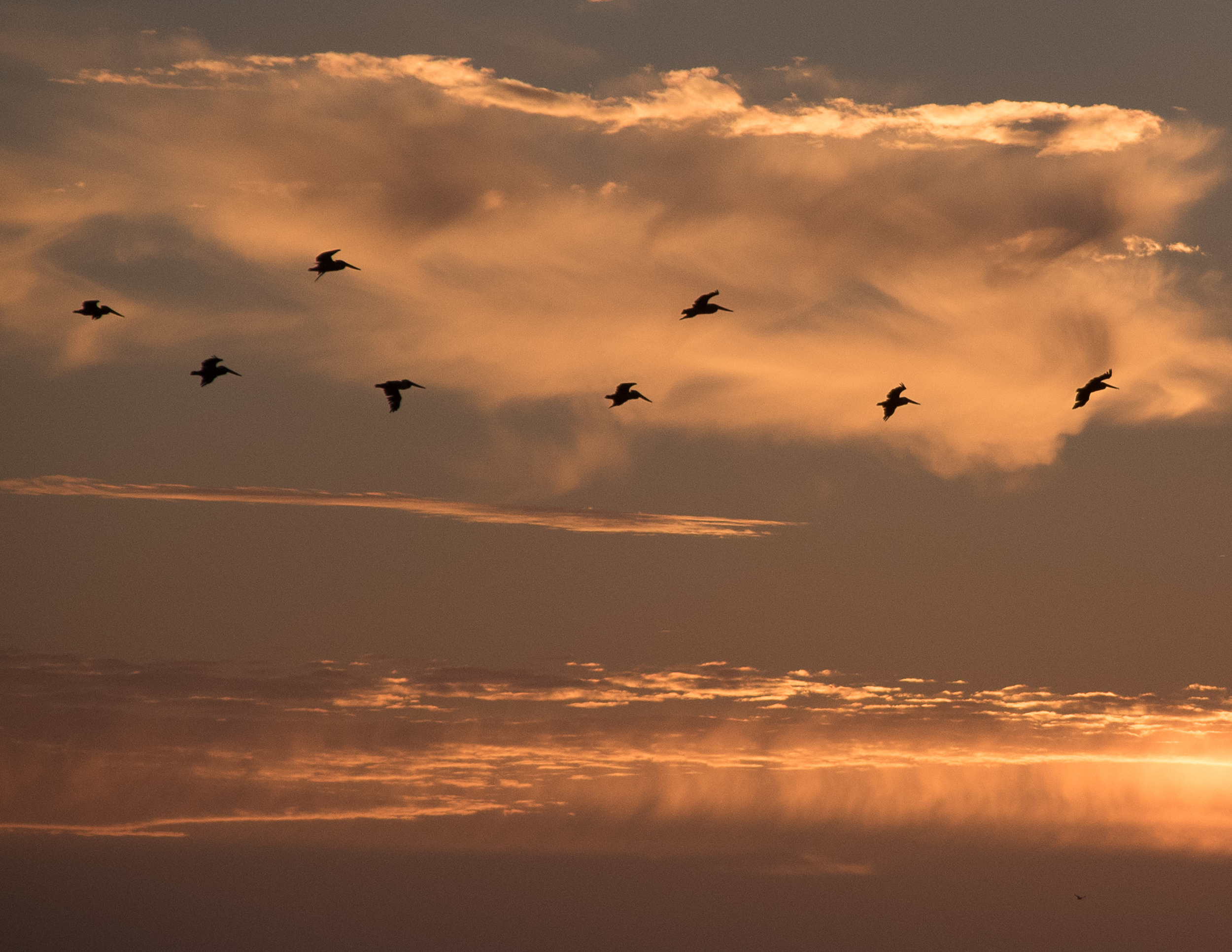 151214 SF Sunset Pelican 2  85x11-0332.jpg